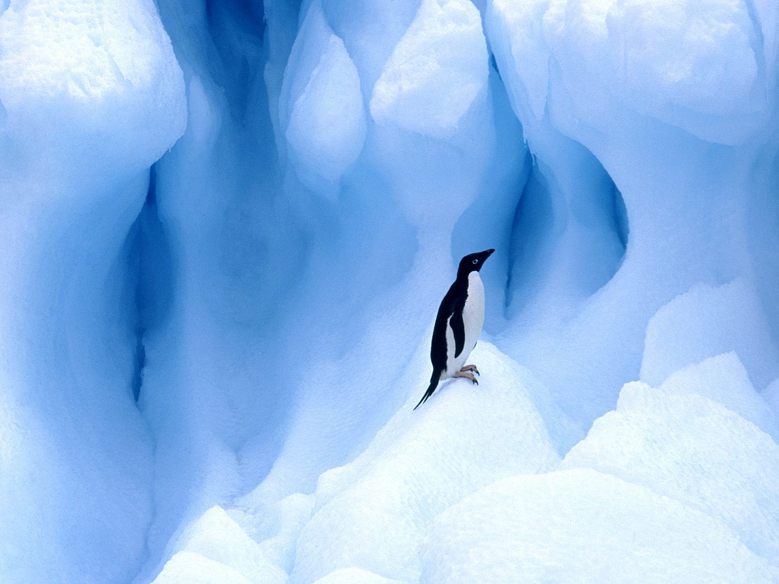 adelie penguin south shetland HD Wallpaper
