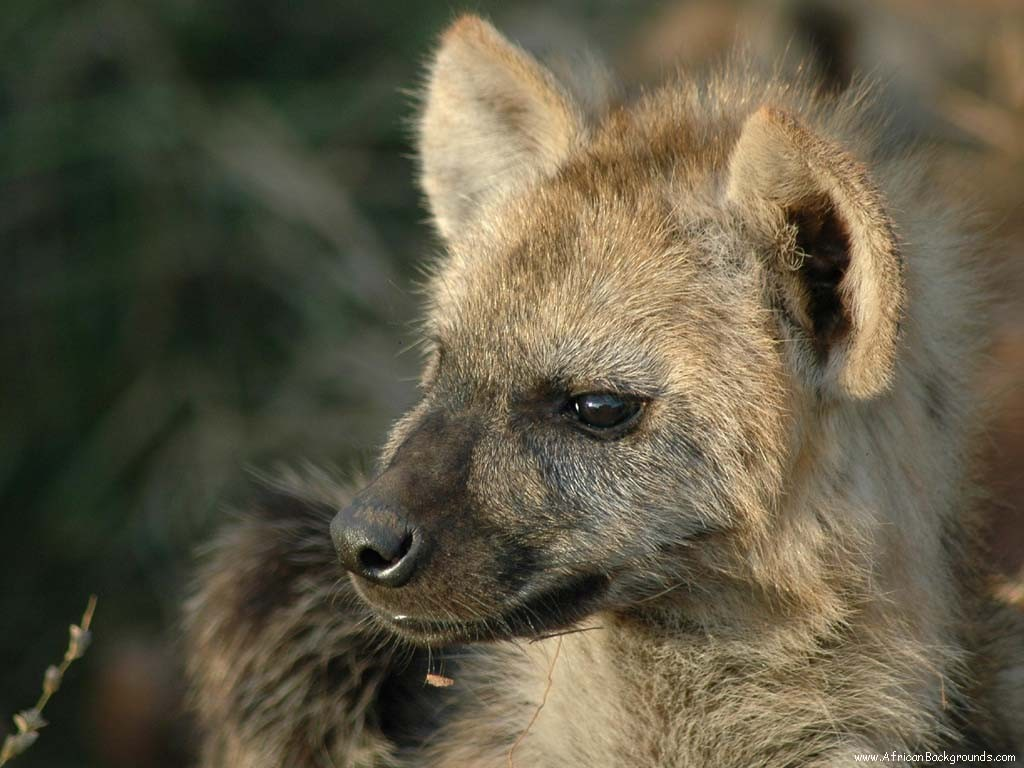 Africa hyenas HD Wallpaper