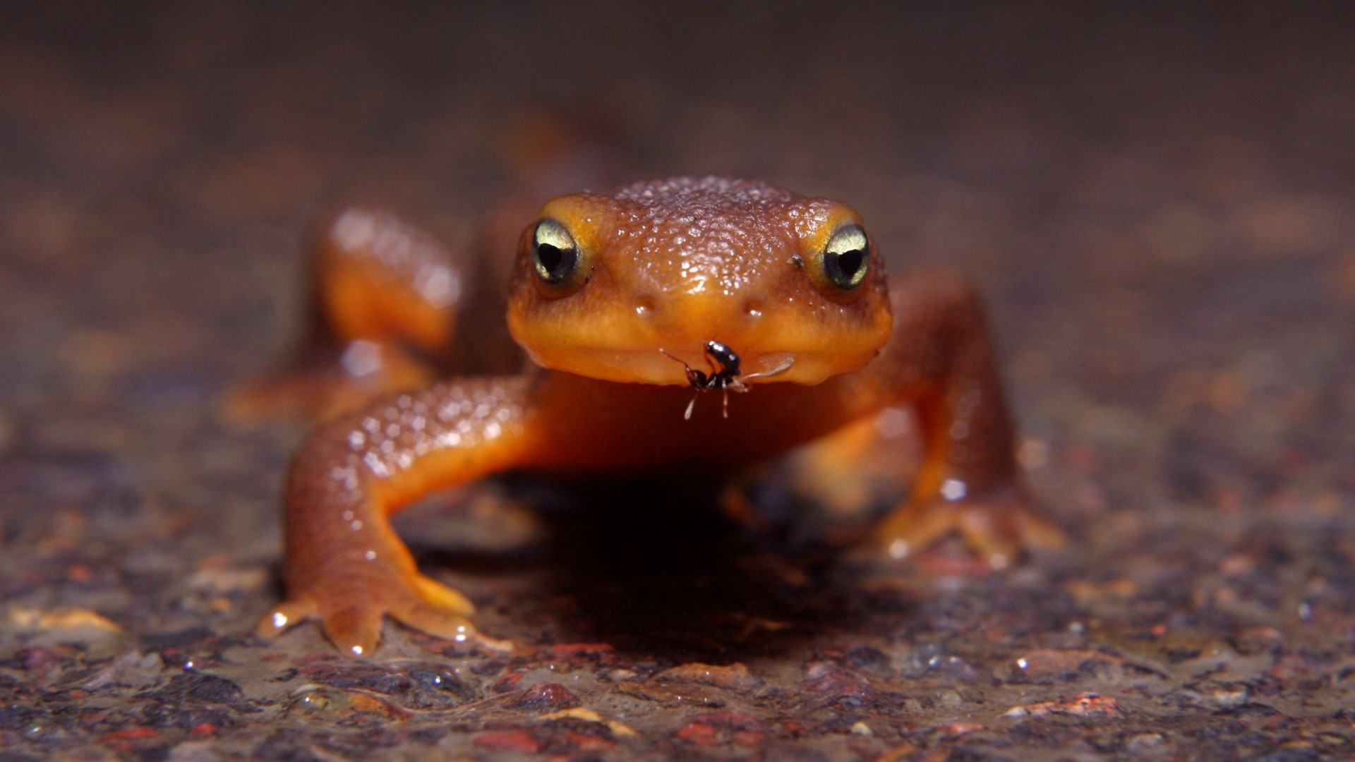 amphibians newt HD Wallpaper
