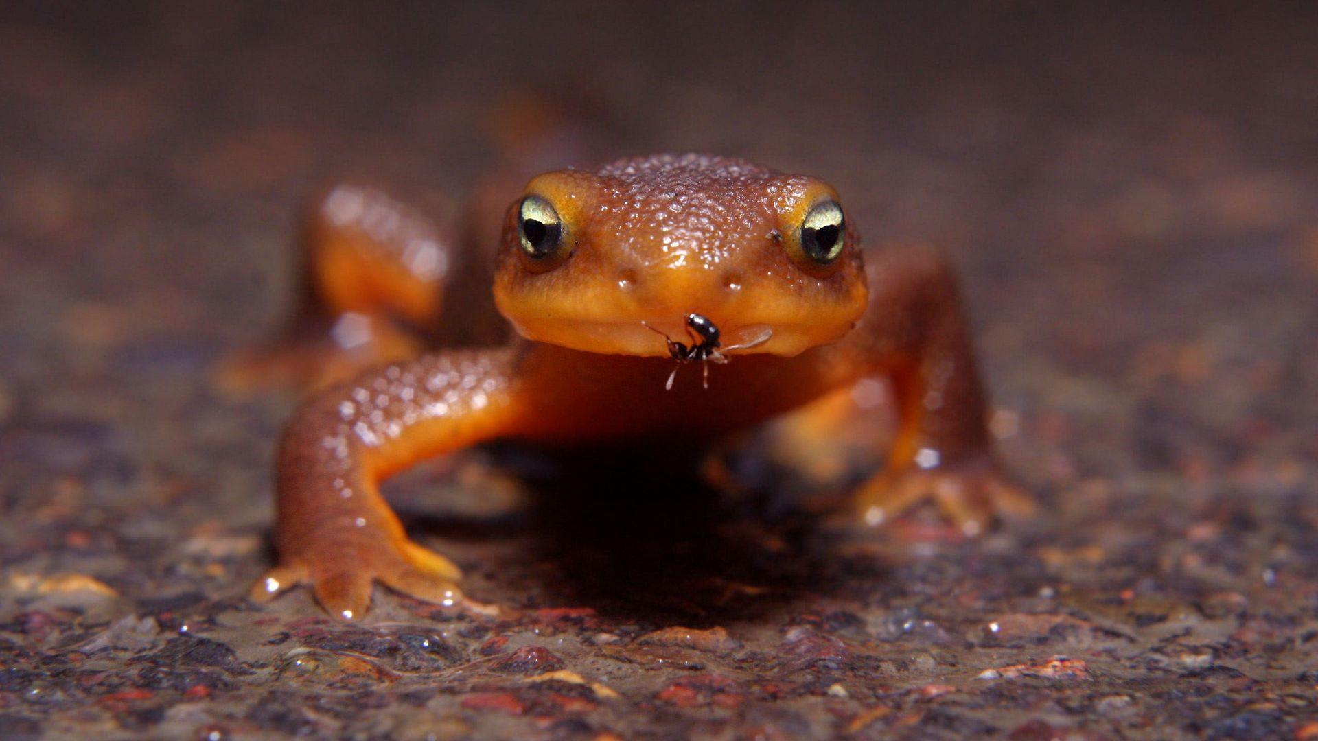 amphibians newt insect insects HD Wallpaper
