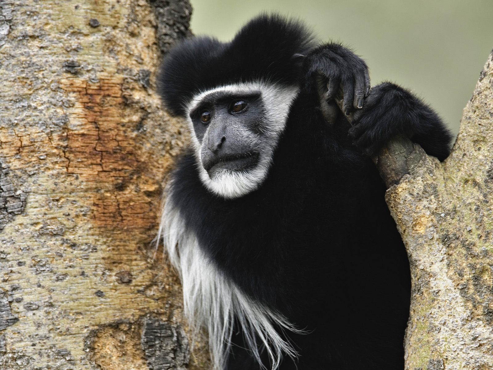 and white colobus monkey HD Wallpaper