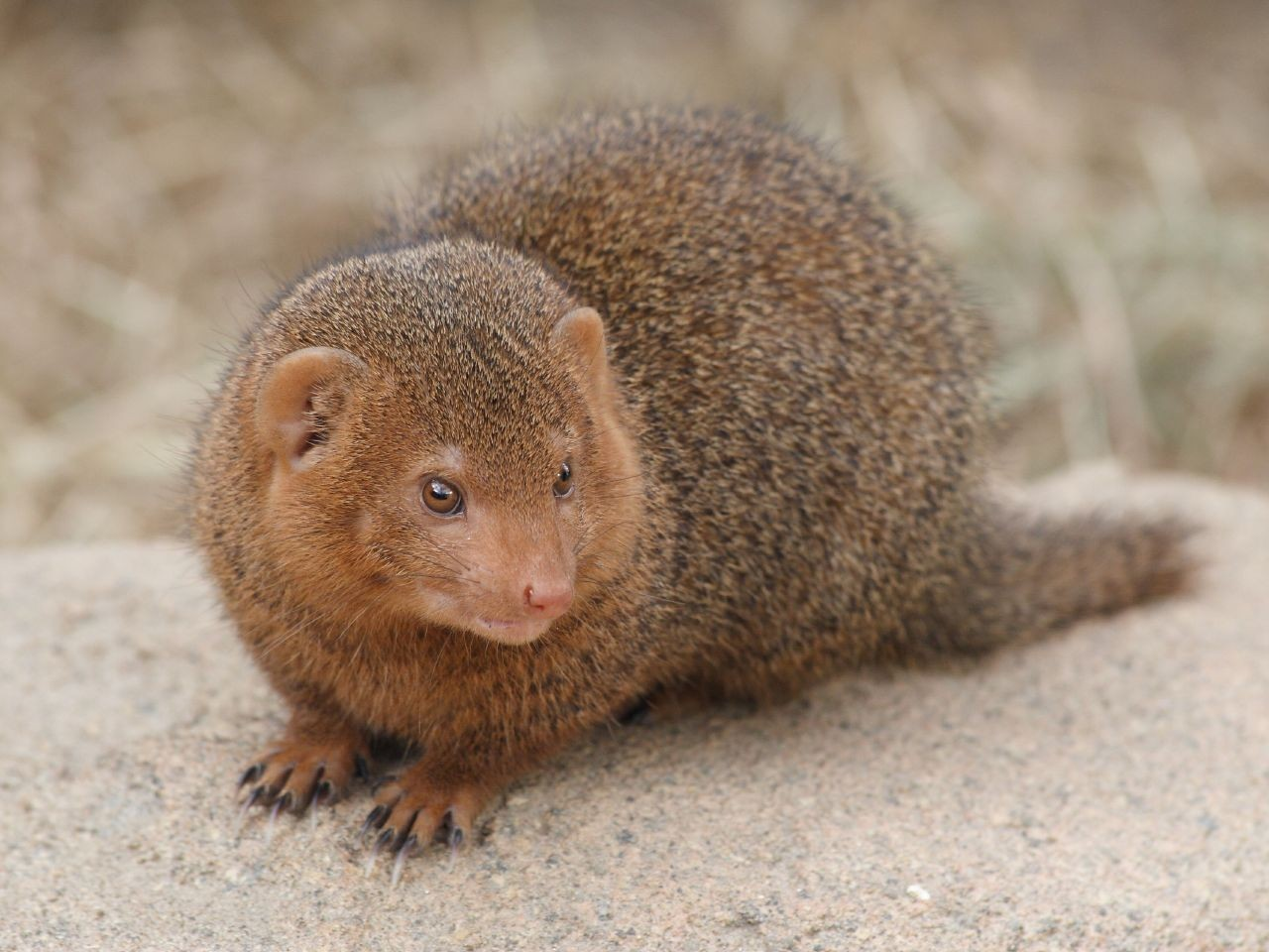 Animals brown camouflage mongoose HD Wallpaper