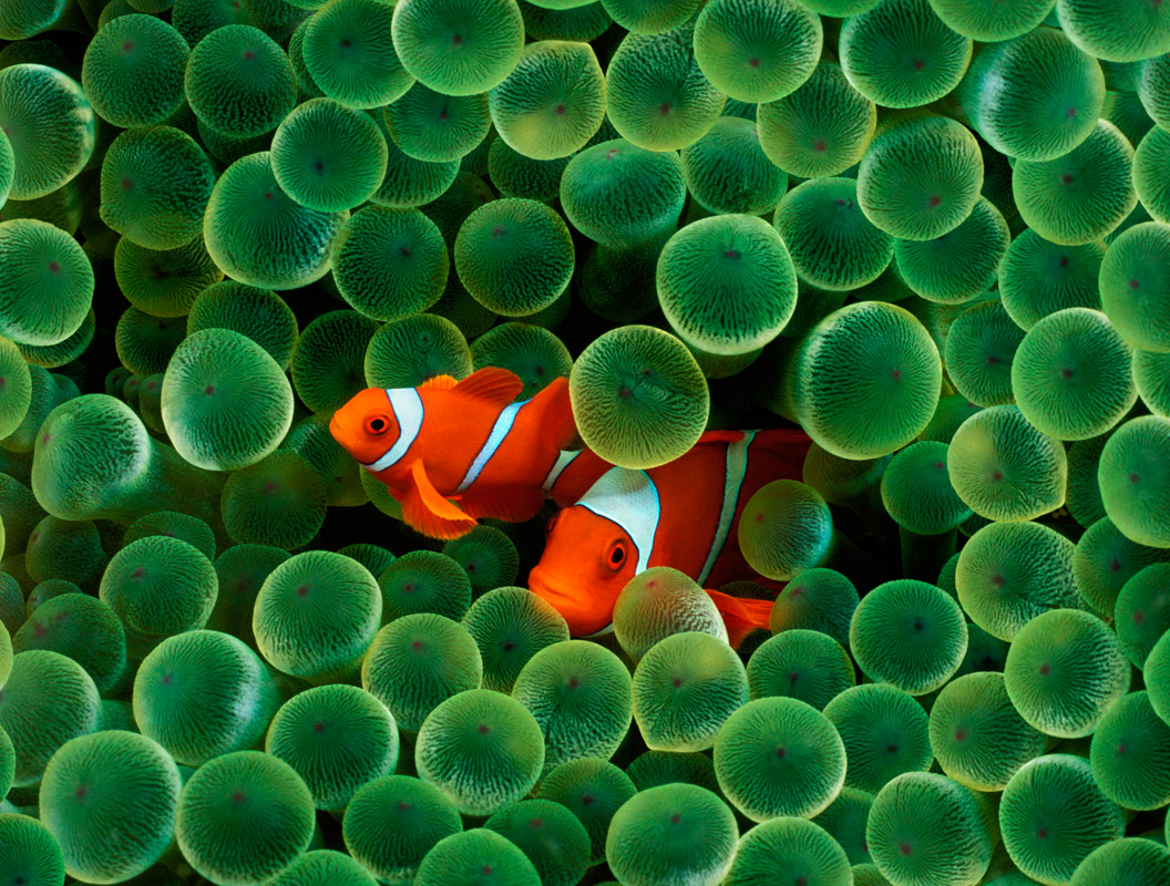 Animals clownfish animal HD Wallpaper