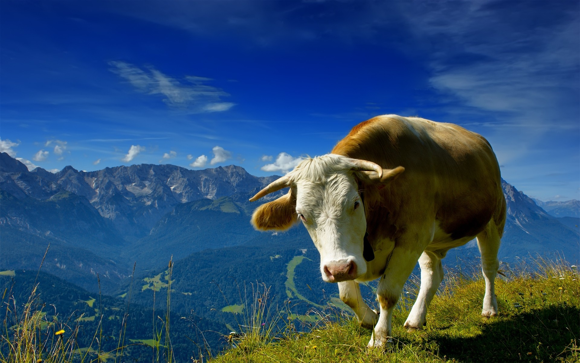 Animals Cows HD Wallpaper