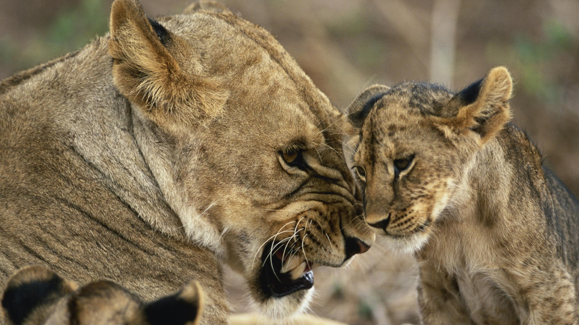 Animals cubs Lions baby HD Wallpaper