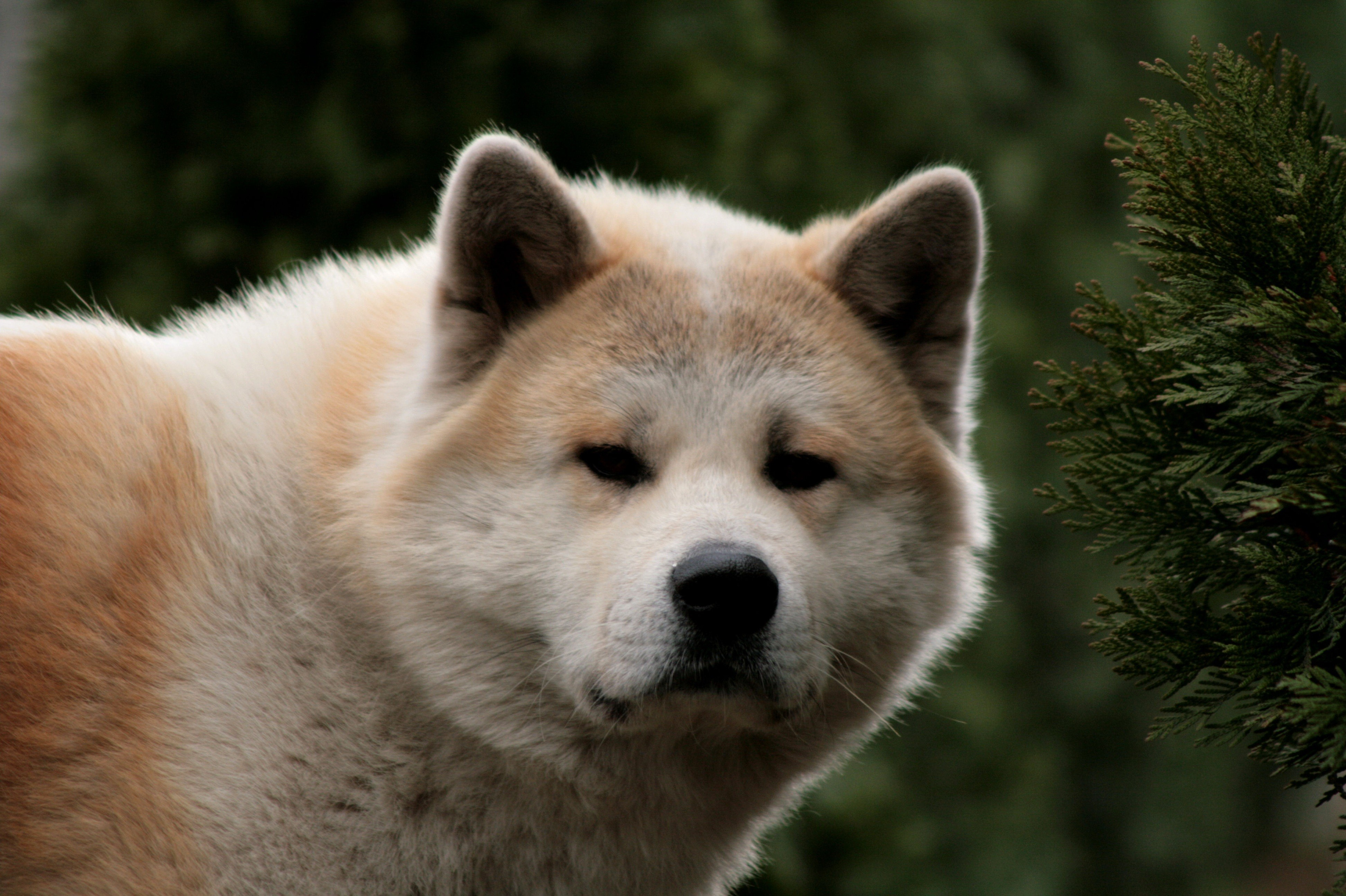 Animals Dogs akita HD Wallpaper
