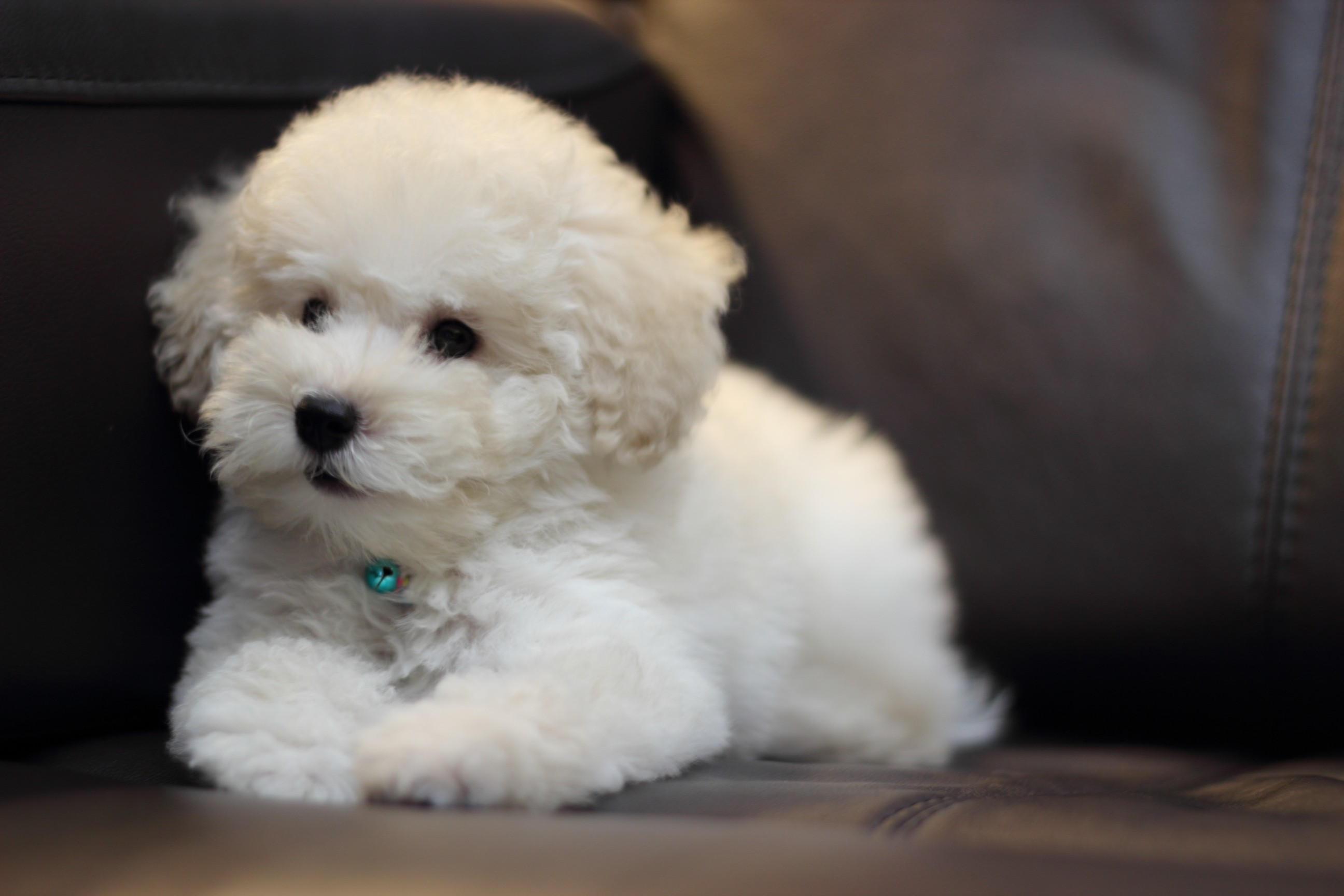 Animals Dogs Puppies poodle HD Wallpaper