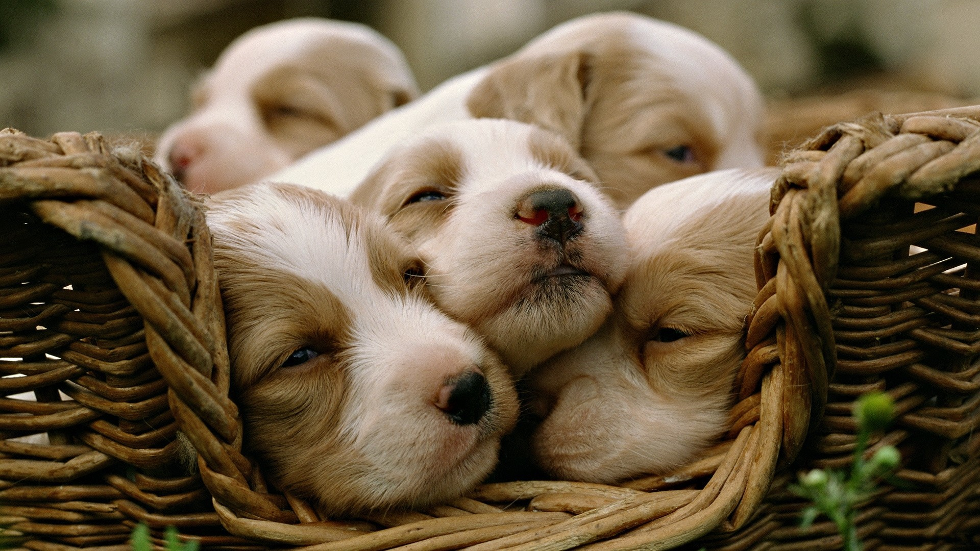 Animals Dogs Puppies sleeping HD Wallpaper
