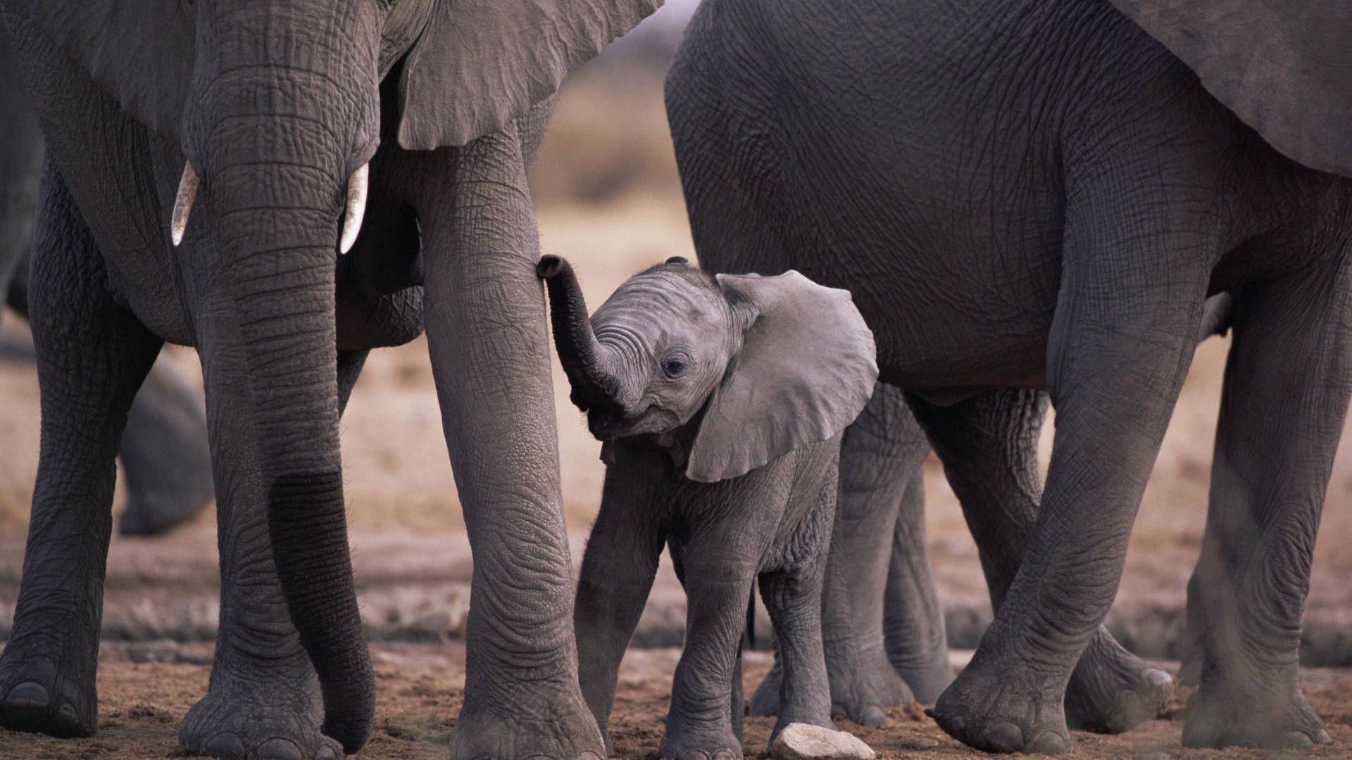 Animals elephants baby elephant HD Wallpaper