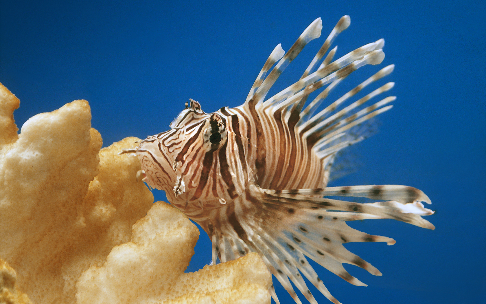 Animals fish lionfish ocean