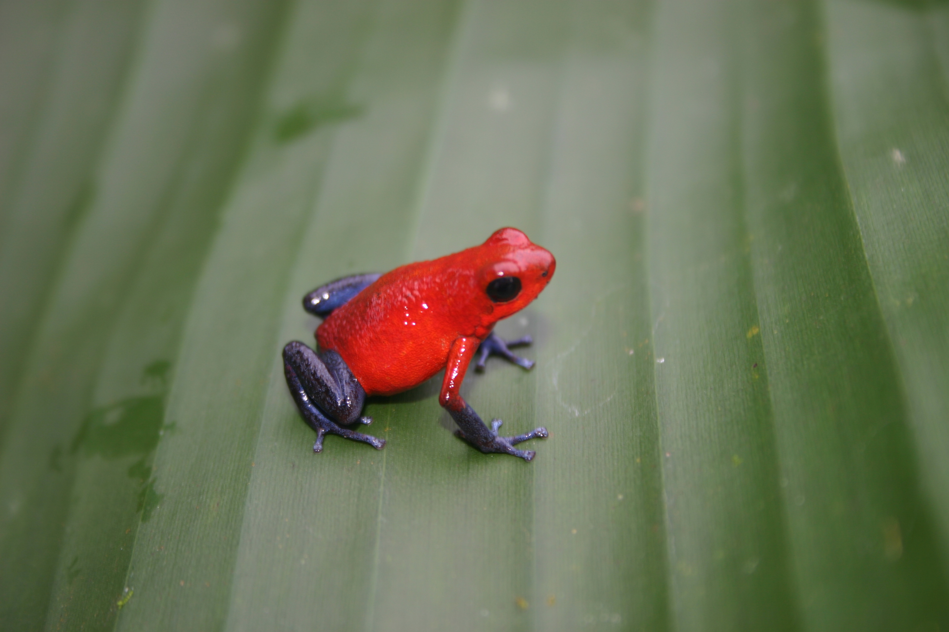 Animals Frogs costa rica HD Wallpaper