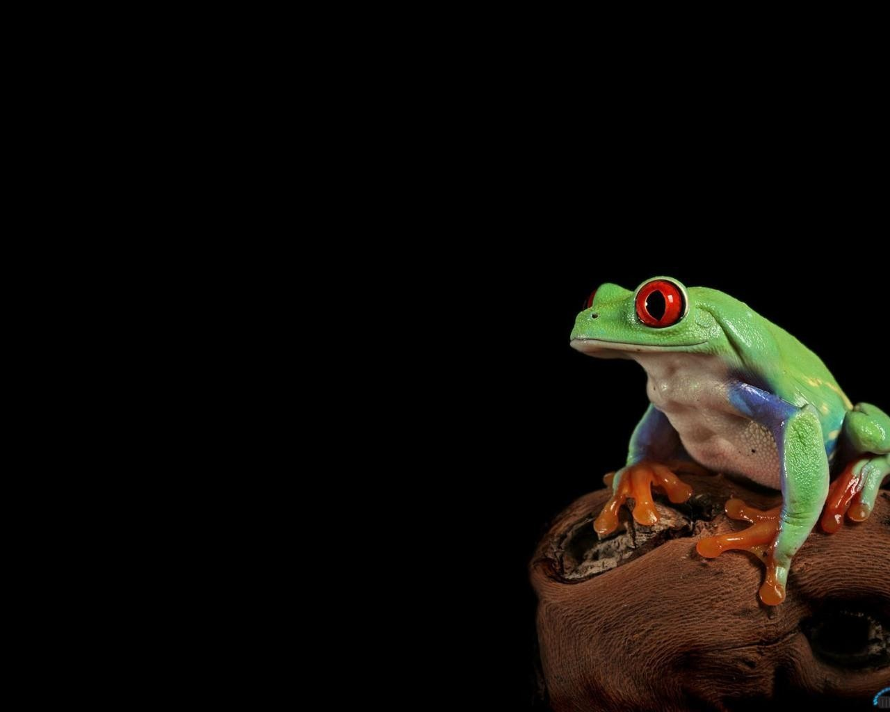 Animals Frogs Red-Eyed Tree HD Wallpaper