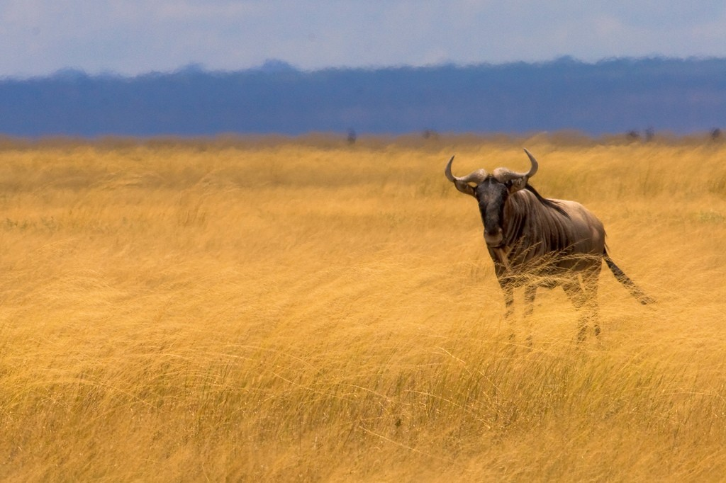 Animals gnu HD Wallpaper
