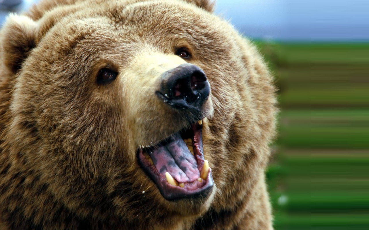 Animals Grizzly Bears Bear HD Wallpaper