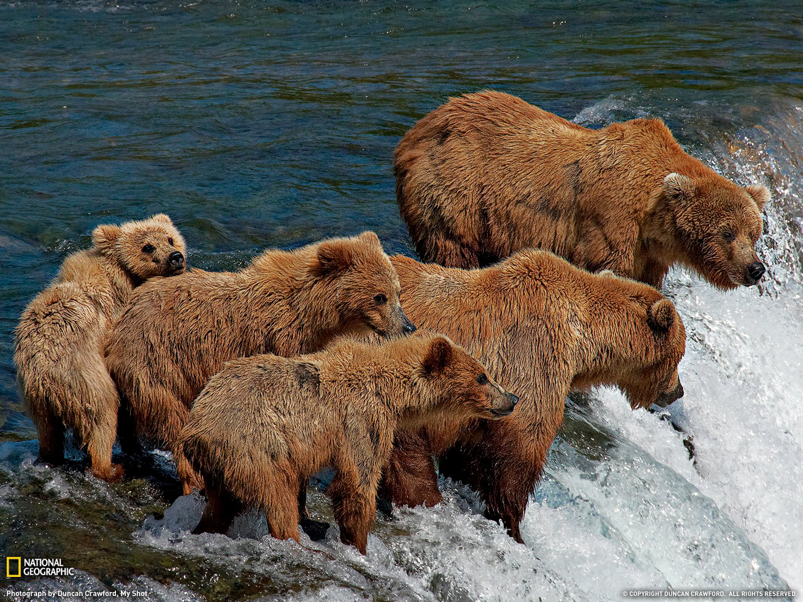 Animals grizzly bears Bears HD Wallpaper