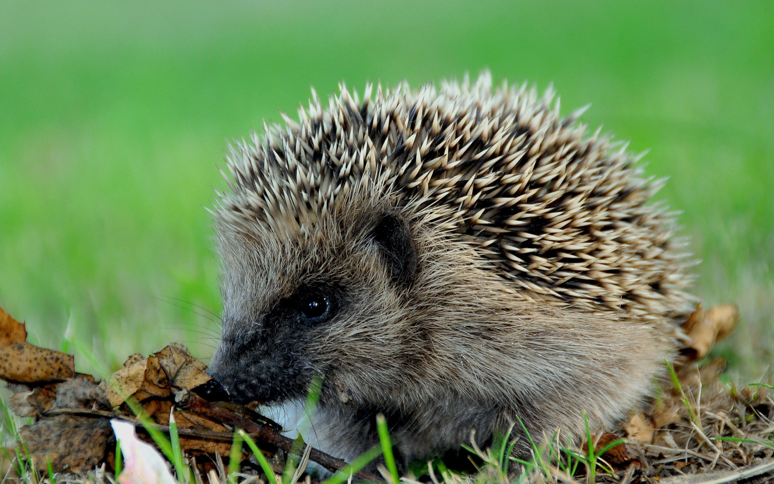 Animals hedgehogs HD Wallpaper