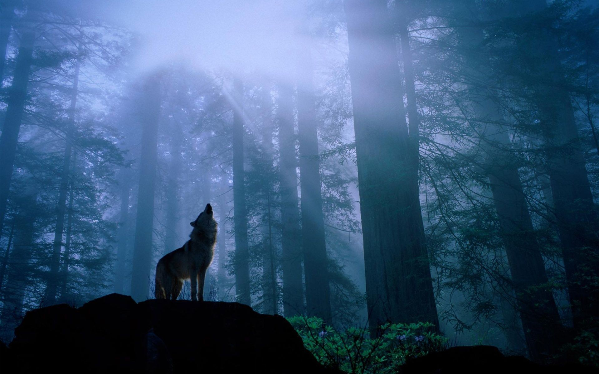 Animals howling wolf Wolves HD Wallpaper
