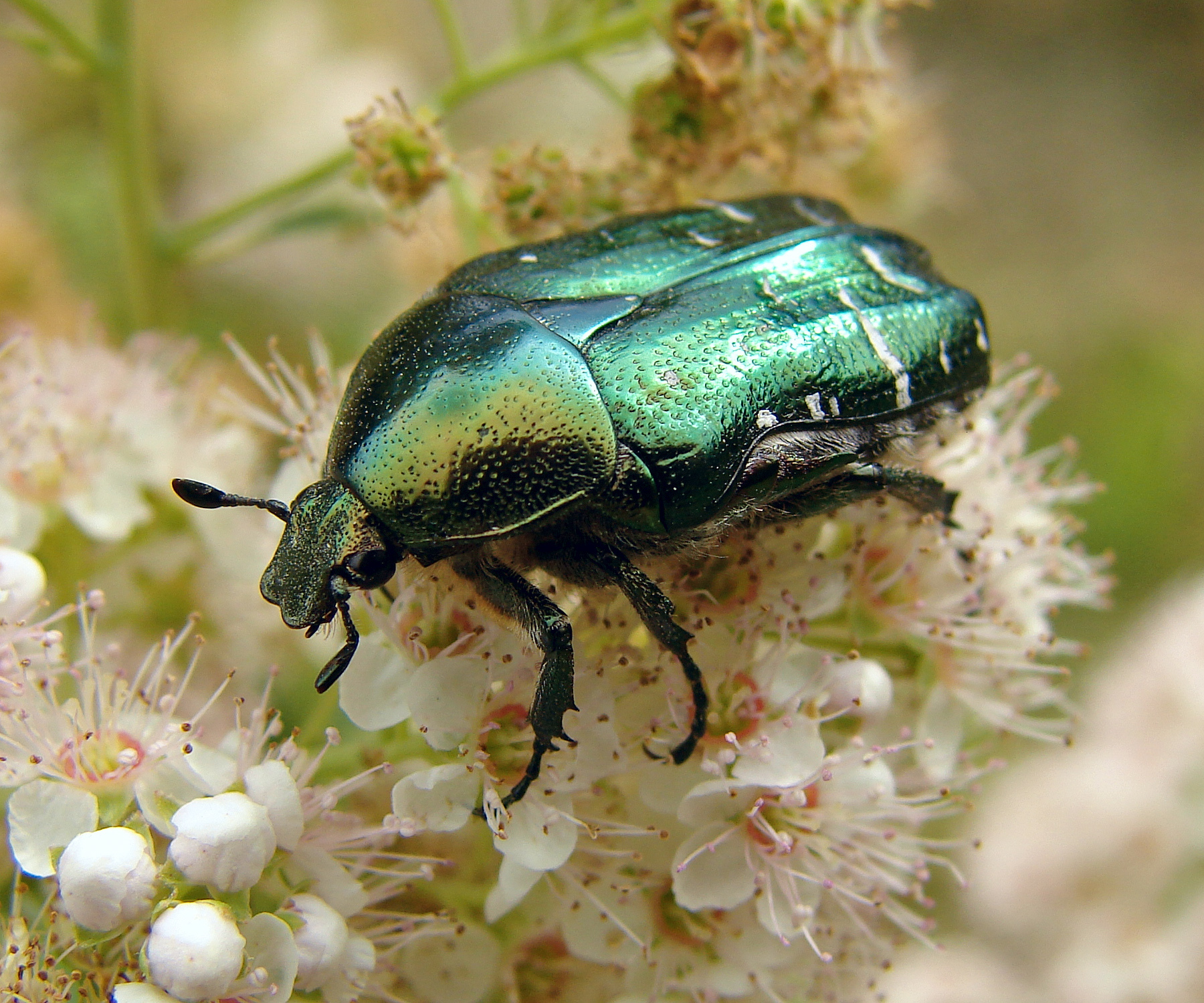 Animals insects Beetles cetonia HD Wallpaper