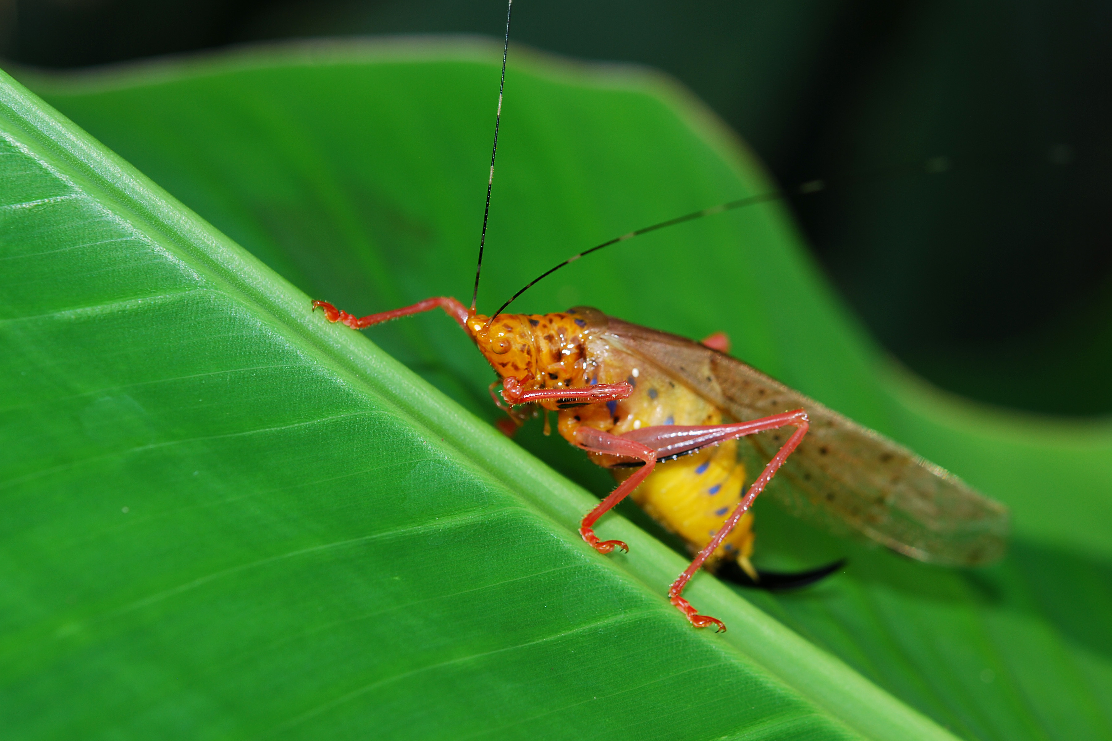 Animals insects grasshopper HD Wallpaper