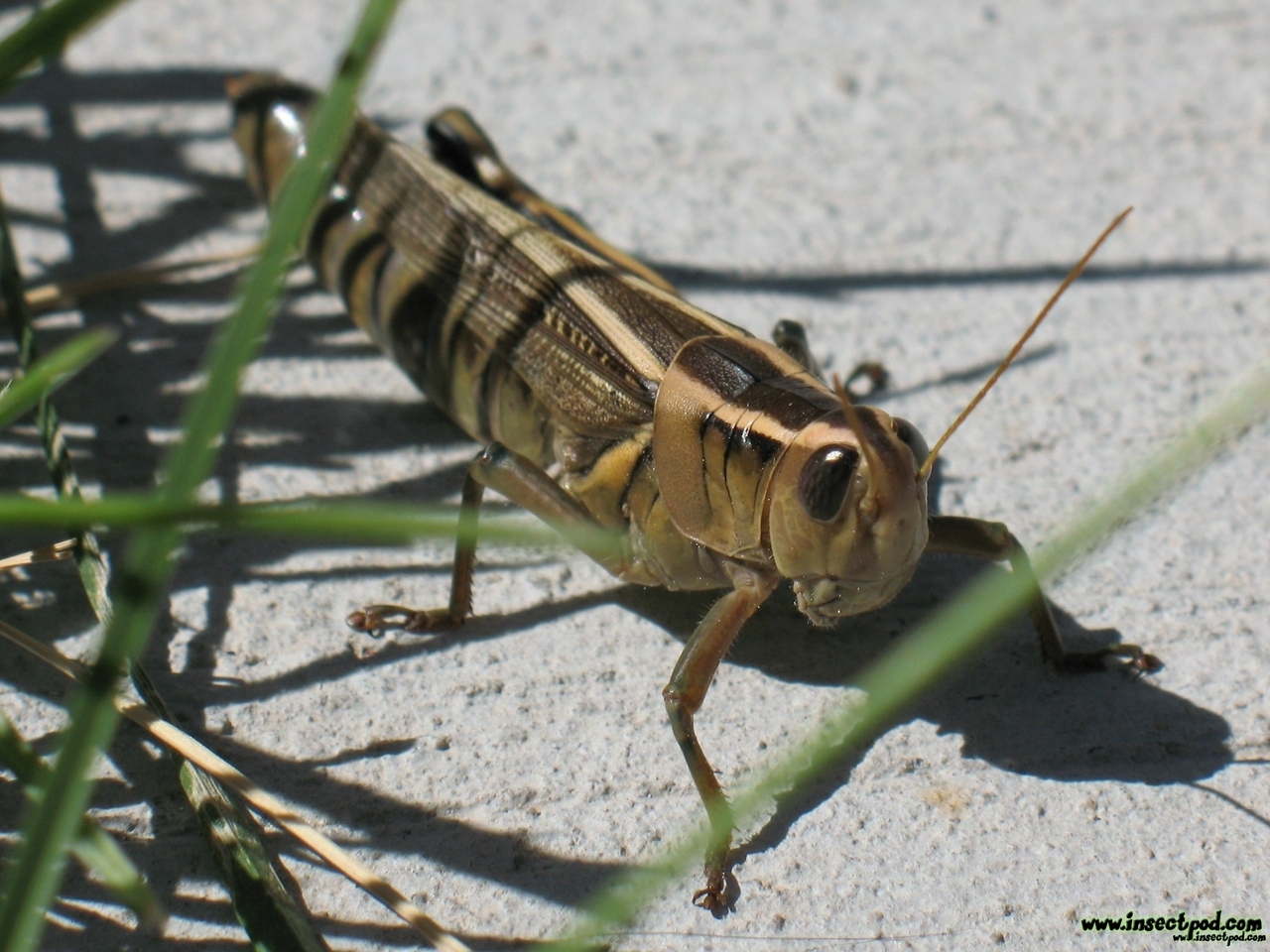 Animals insects grasshopper insect HD Wallpaper
