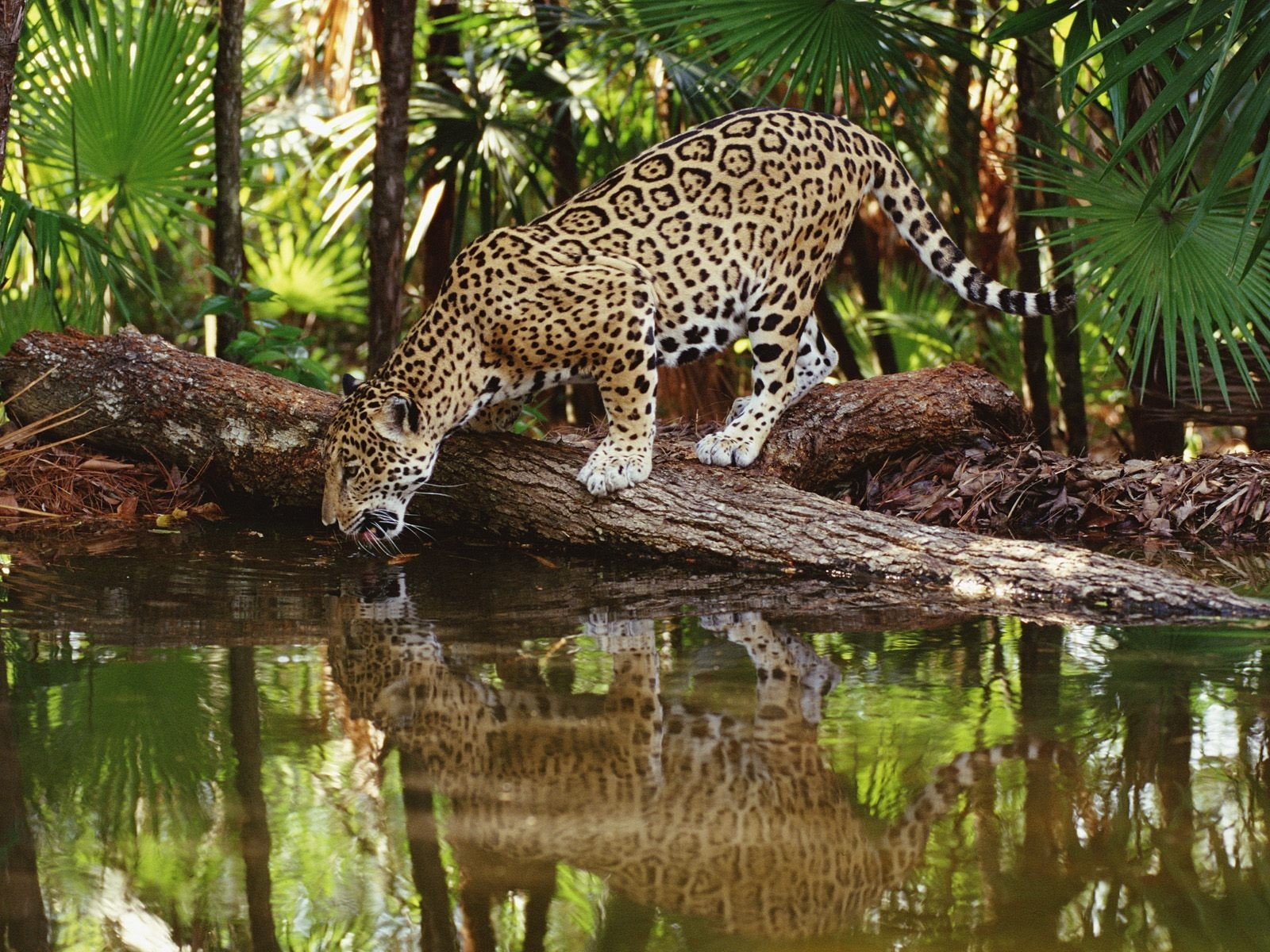 Animals jaguars HD Wallpaper