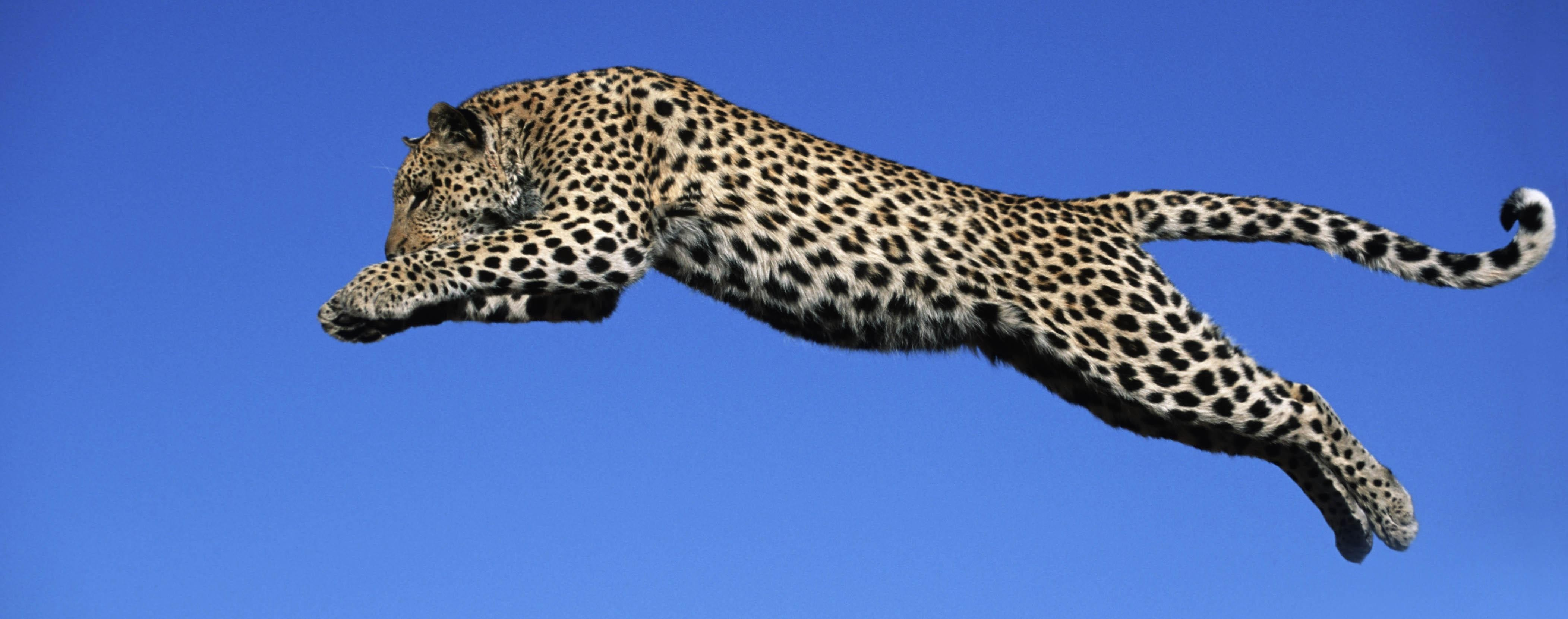 Animals jumping feline Leopards HD Wallpaper