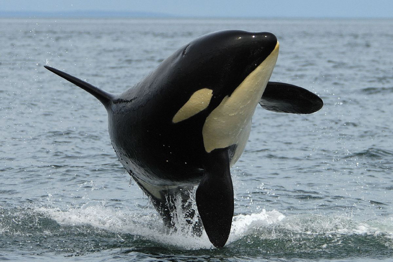 Animals killer whales HD Wallpaper