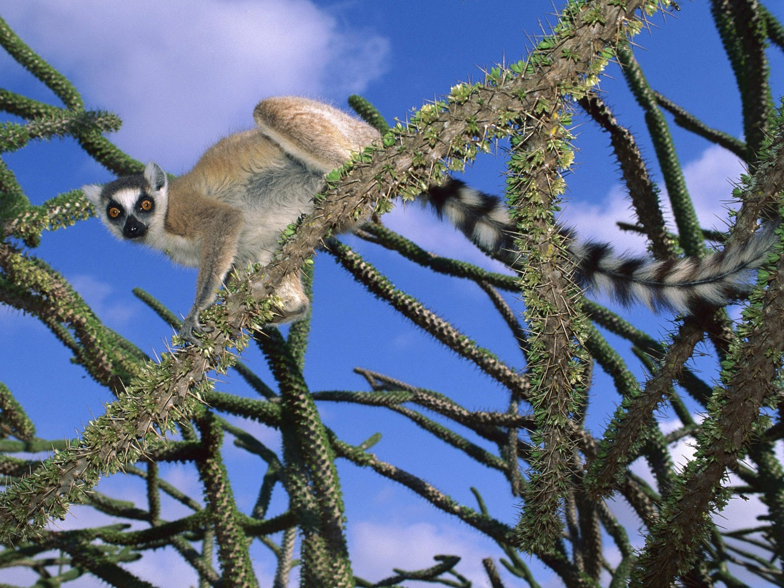 Animals lemur ring-tailed lemurs HD Wallpaper