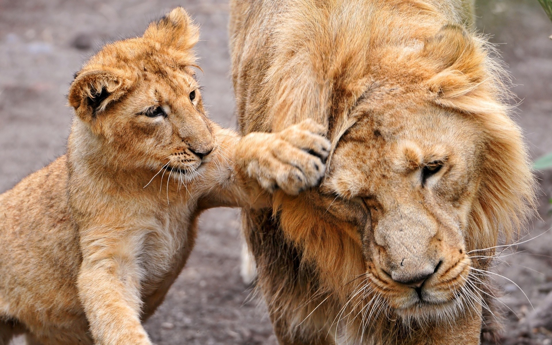 Animals Lions baby animals HD Wallpaper
