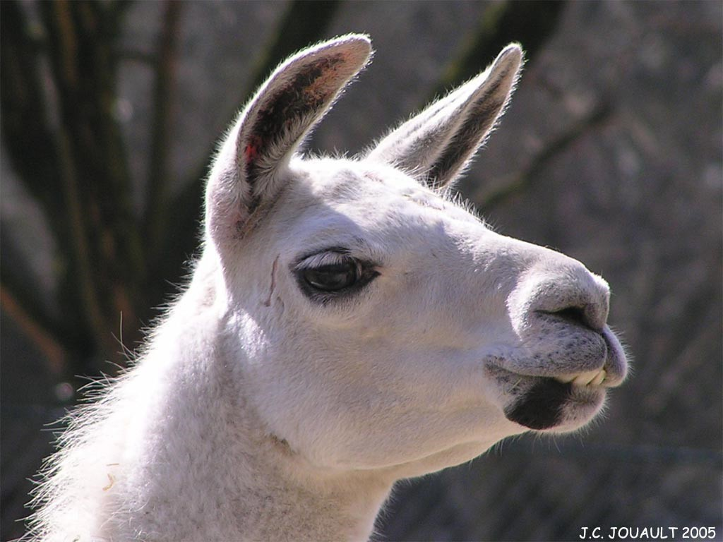 Animals llama HD Wallpaper