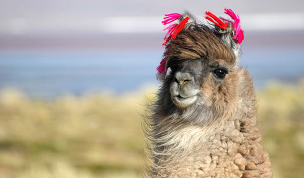 Animals llama animal HD Wallpaper