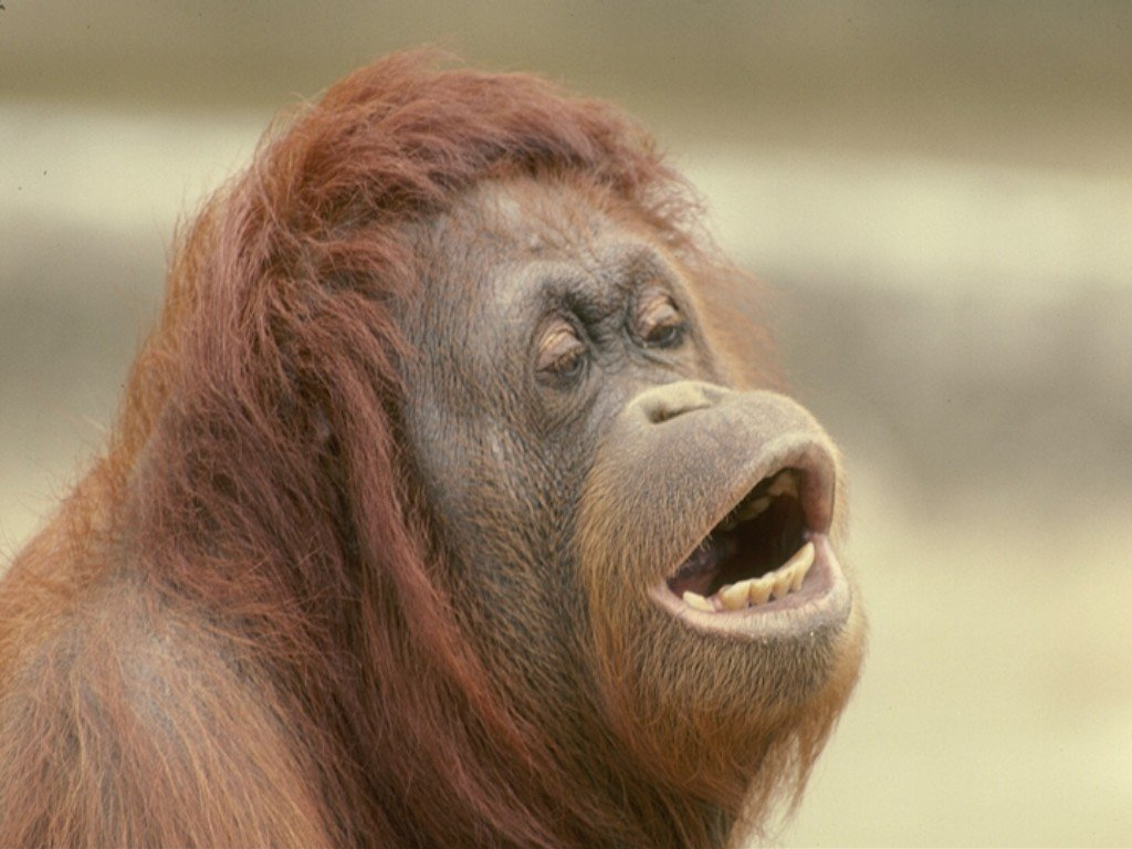 Animals monkeys primates orangutans HD Wallpaper
