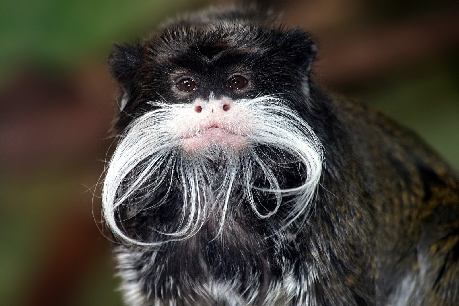 Animals moustache emperor tamarin