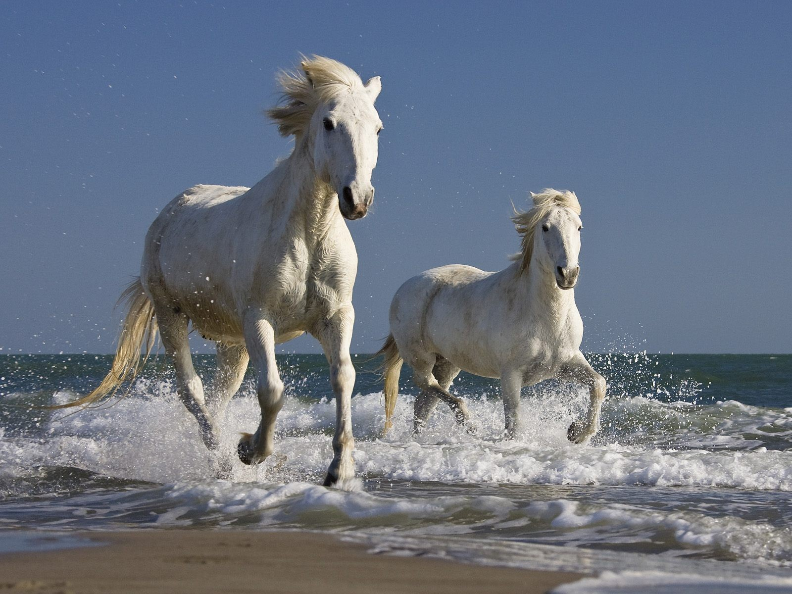 Animals ocean waves Horses HD Wallpaper