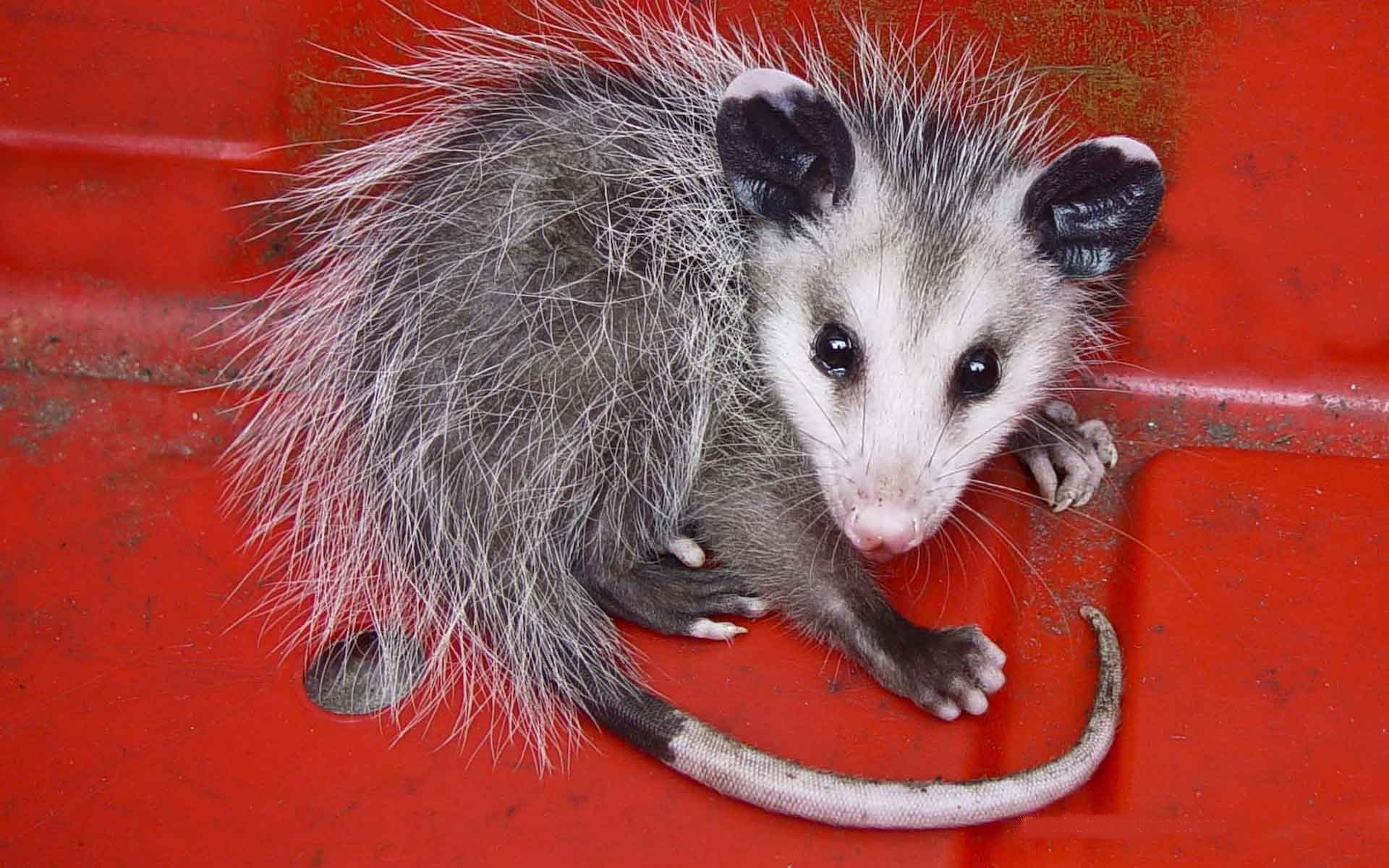 Animals opossums