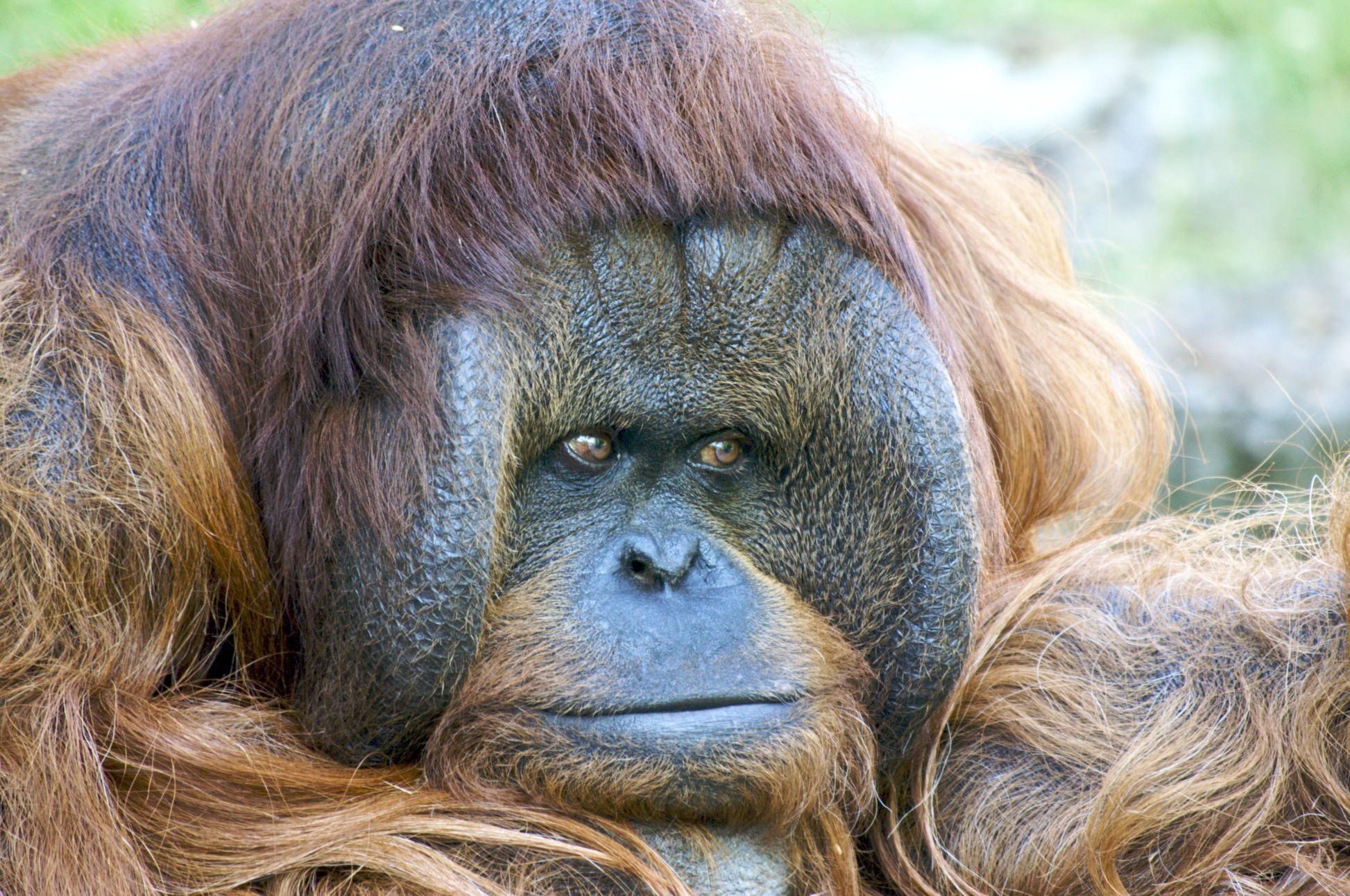 Animals orangutans HD Wallpaper