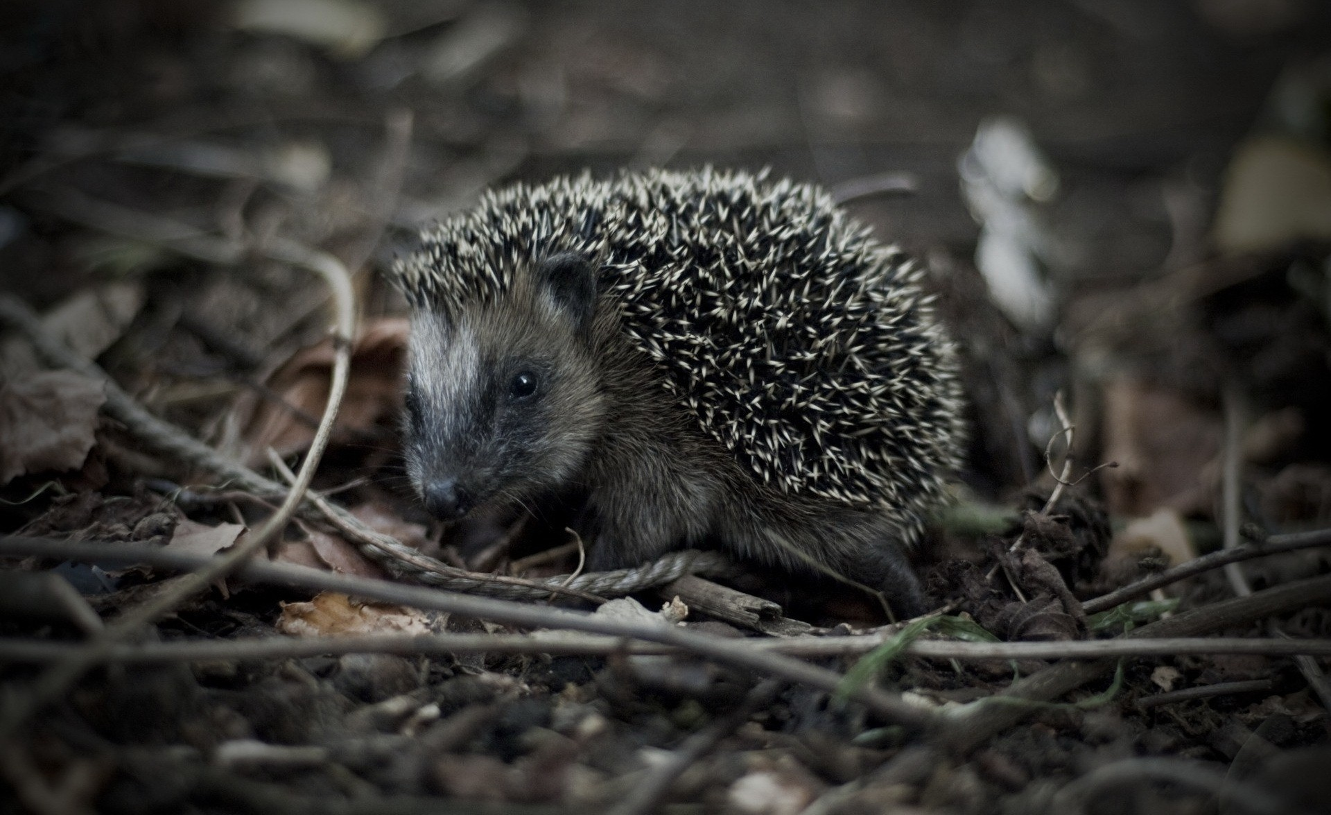 Animals outdoors hedgehogs pets HD Wallpaper