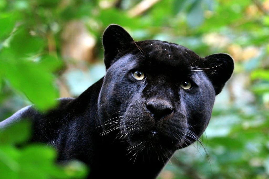 Animals panthers HD Wallpaper