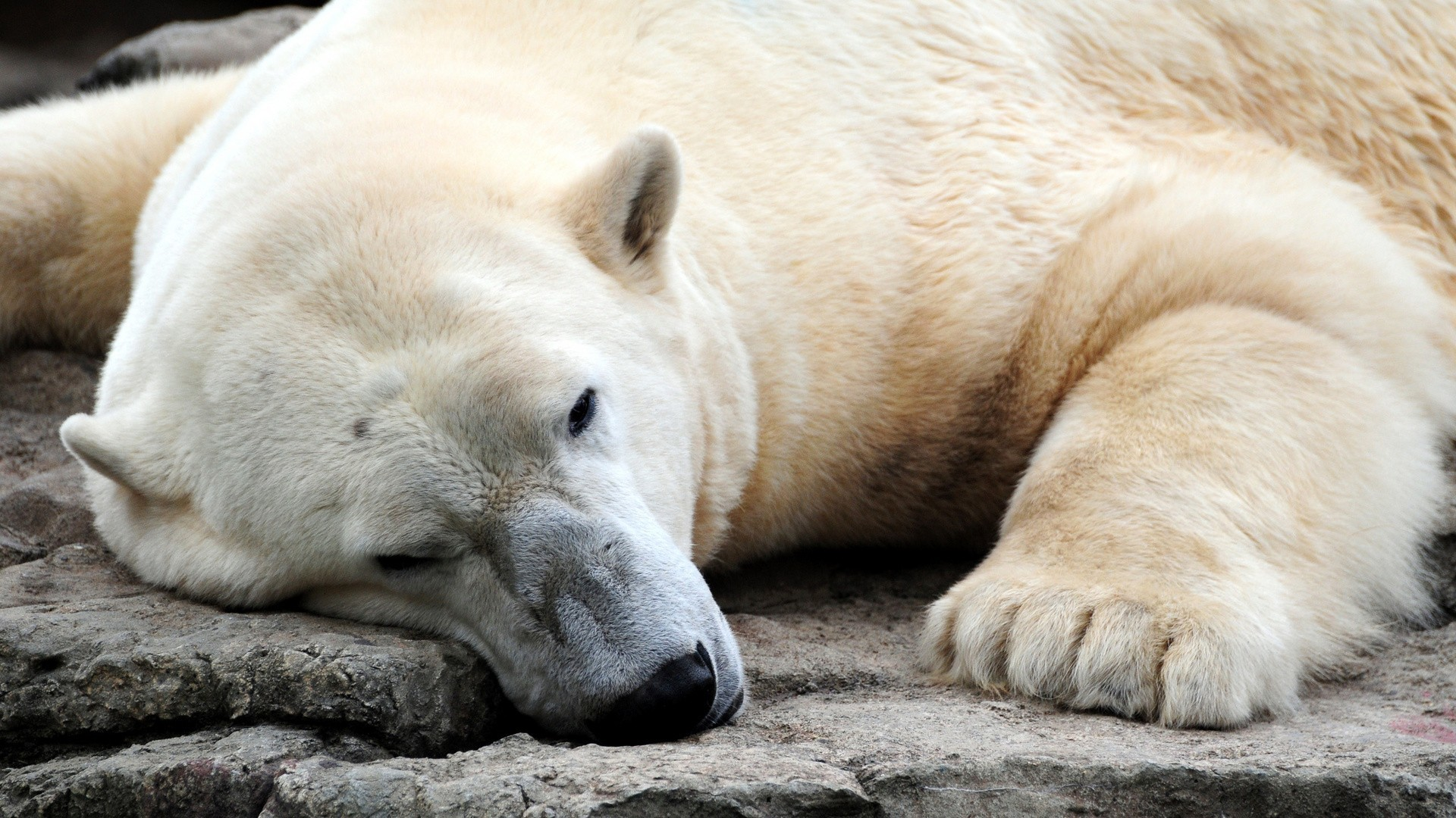 Animals Polar Bears HD Wallpaper