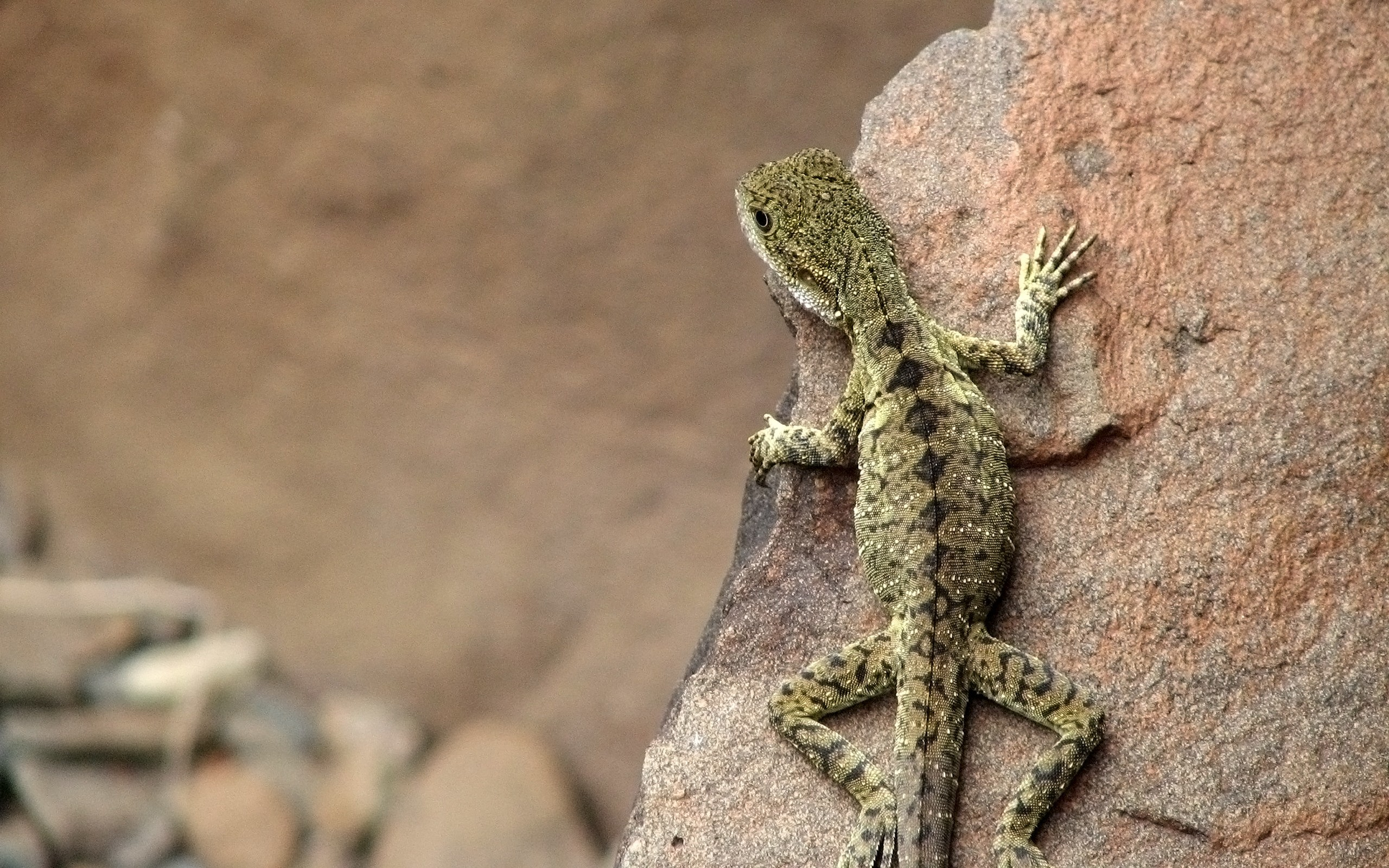 Animals rocks lizards Reptiles HD Wallpaper
