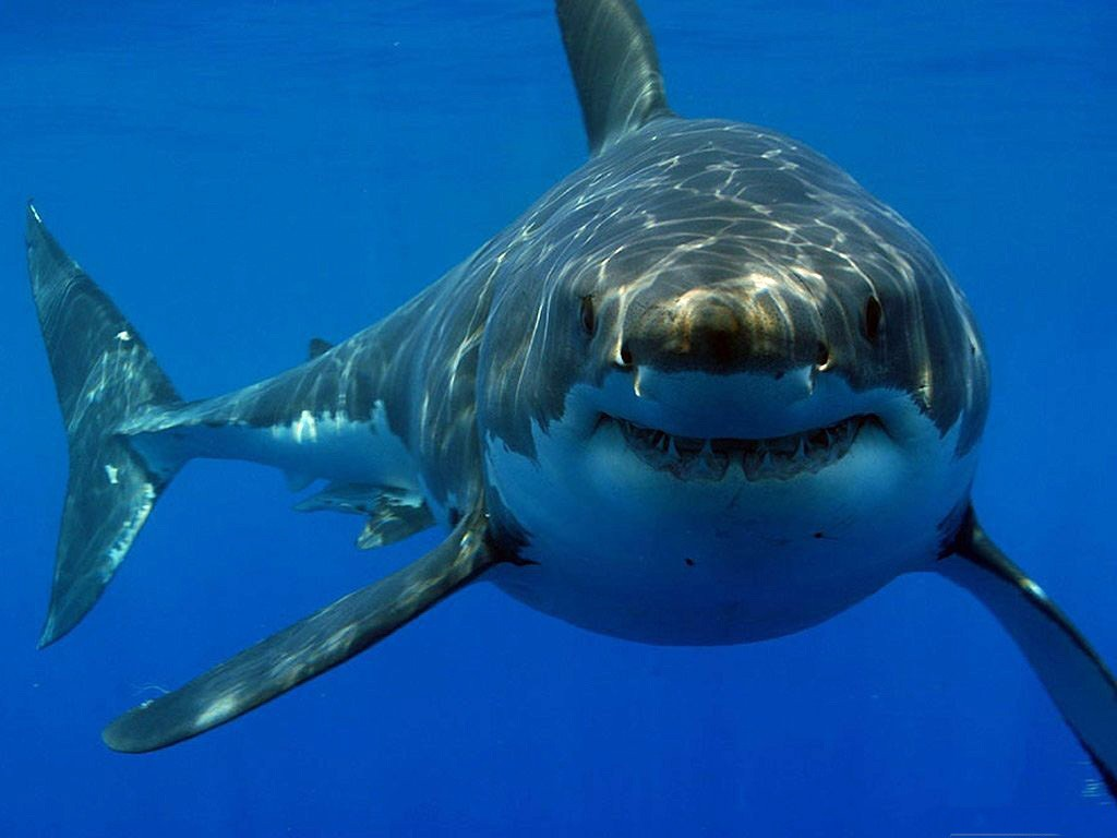 Animals Sharks underwater HD Wallpaper