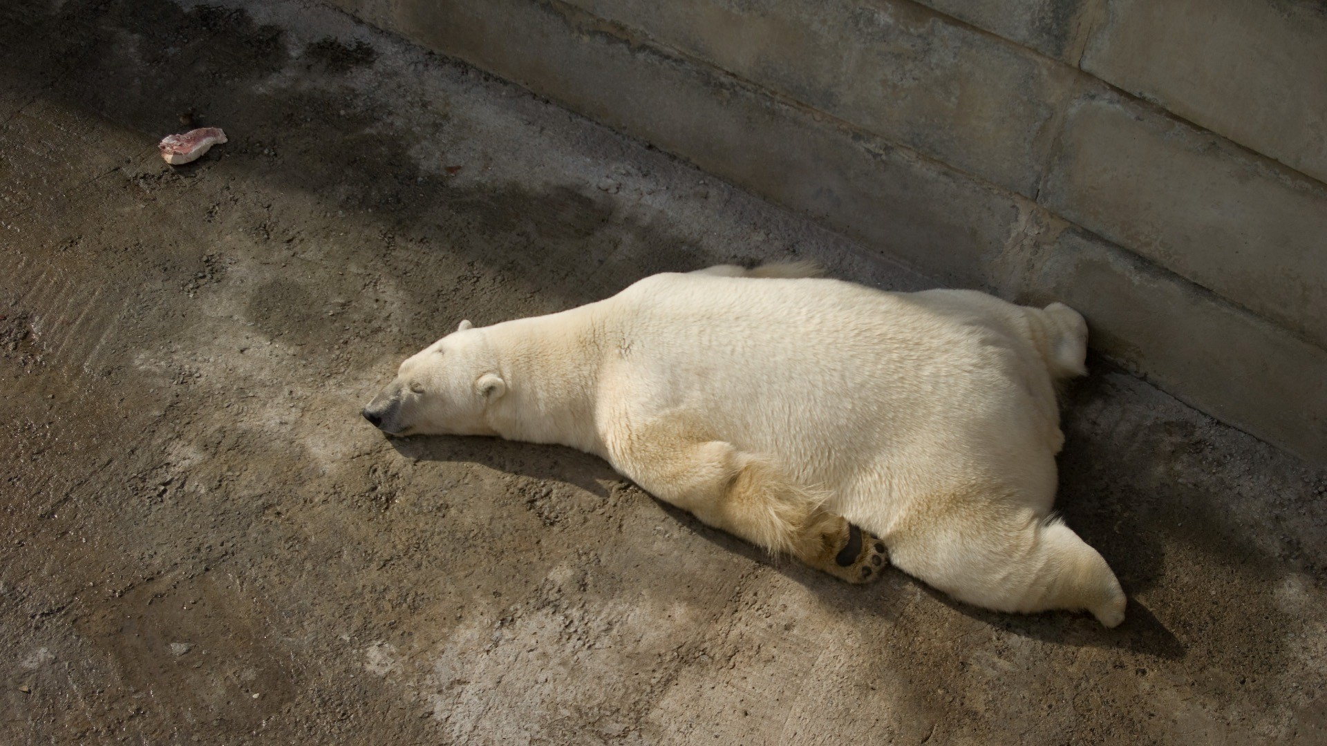 Animals sleeping zoo Polar HD Wallpaper