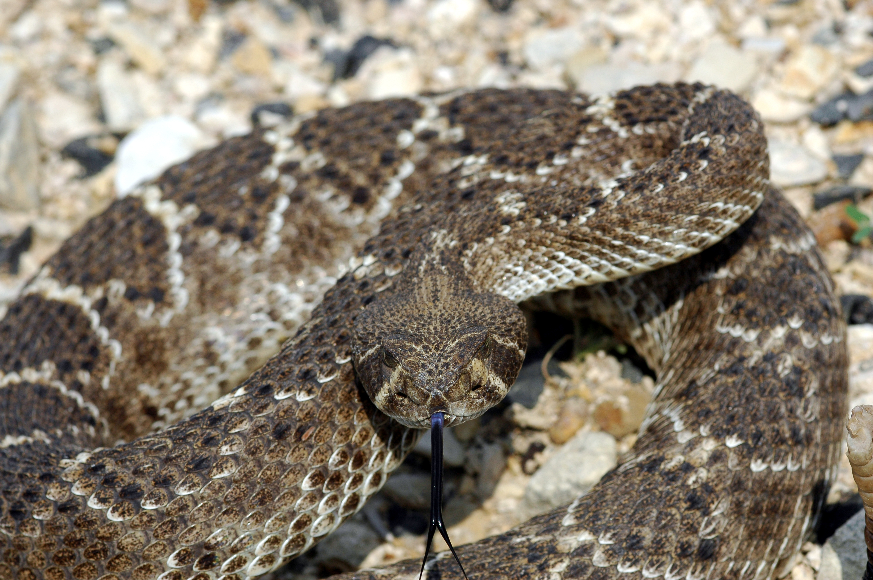Animals snakes Reptiles rattlesnakes HD Wallpaper