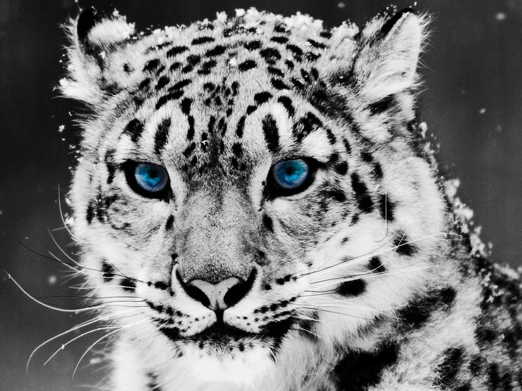 Animals snow Leopards HD Wallpaper