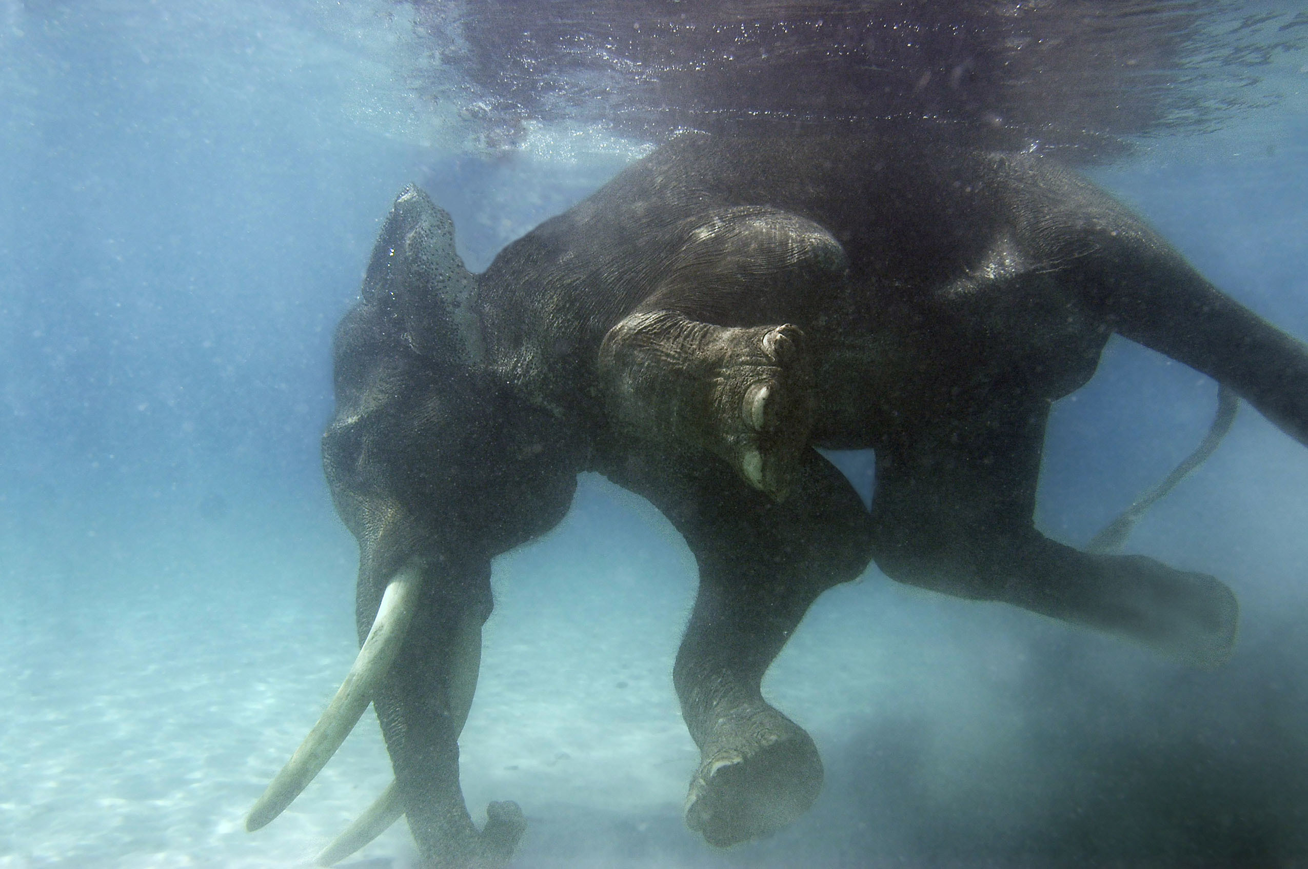 Animals swimming elephants underwater HD Wallpaper