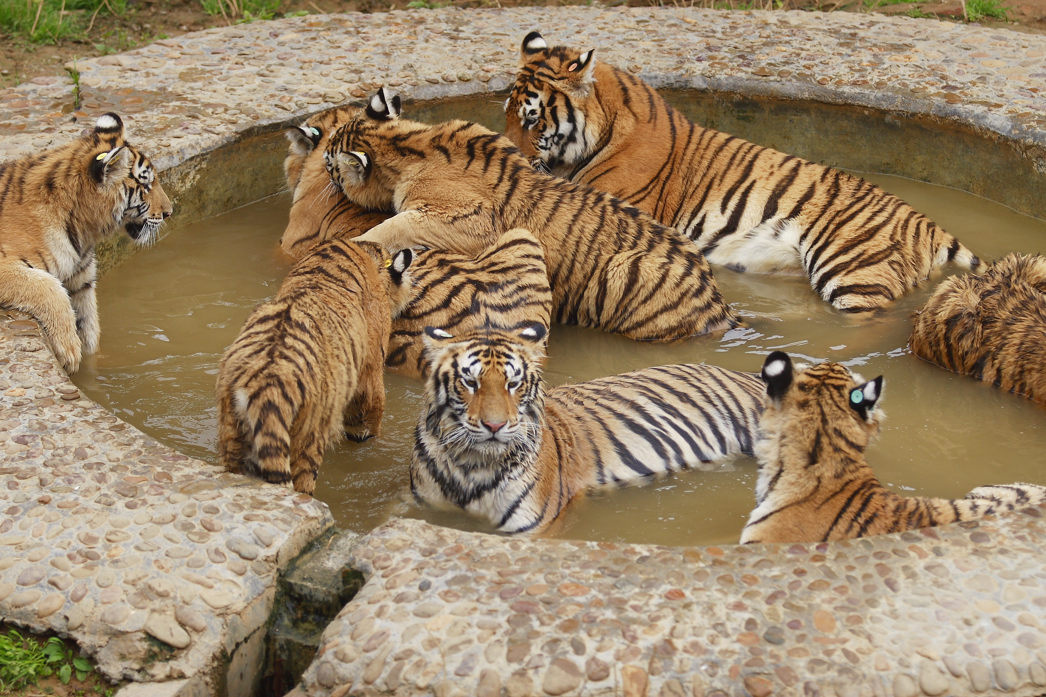 Animals Tigers ponds HD Wallpaper