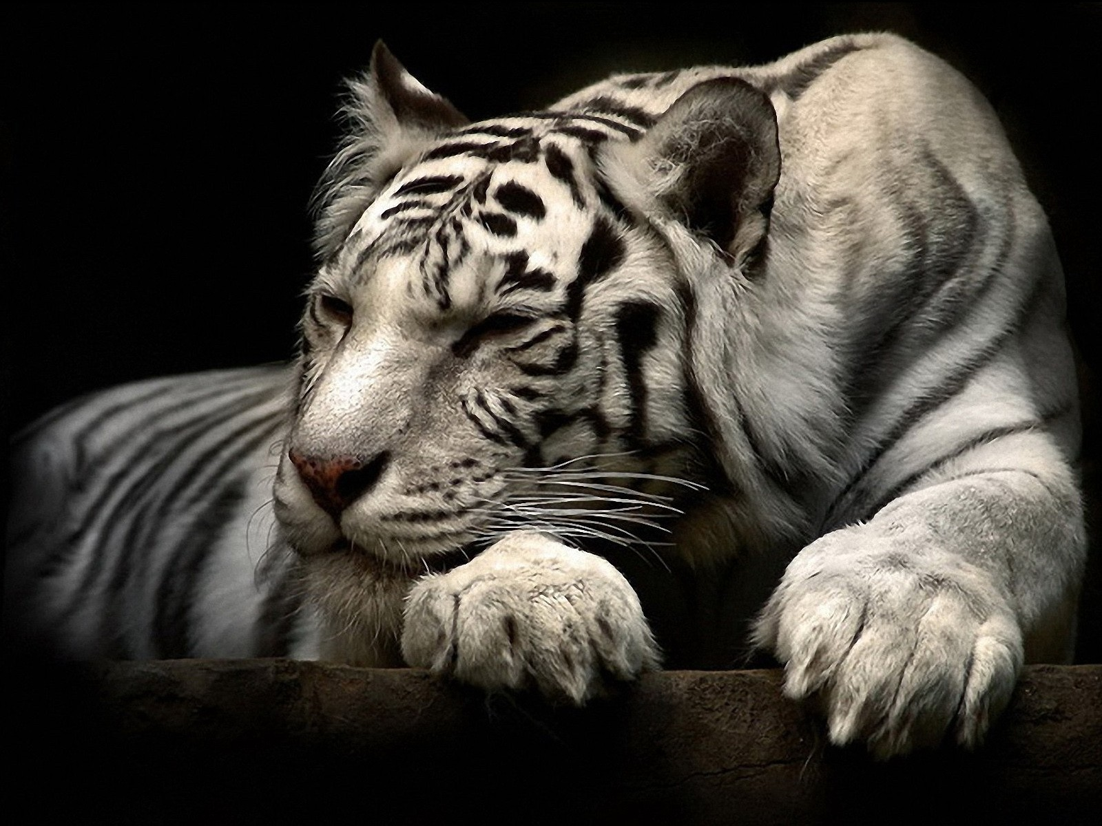 Animals Tigers white tiger HD Wallpaper