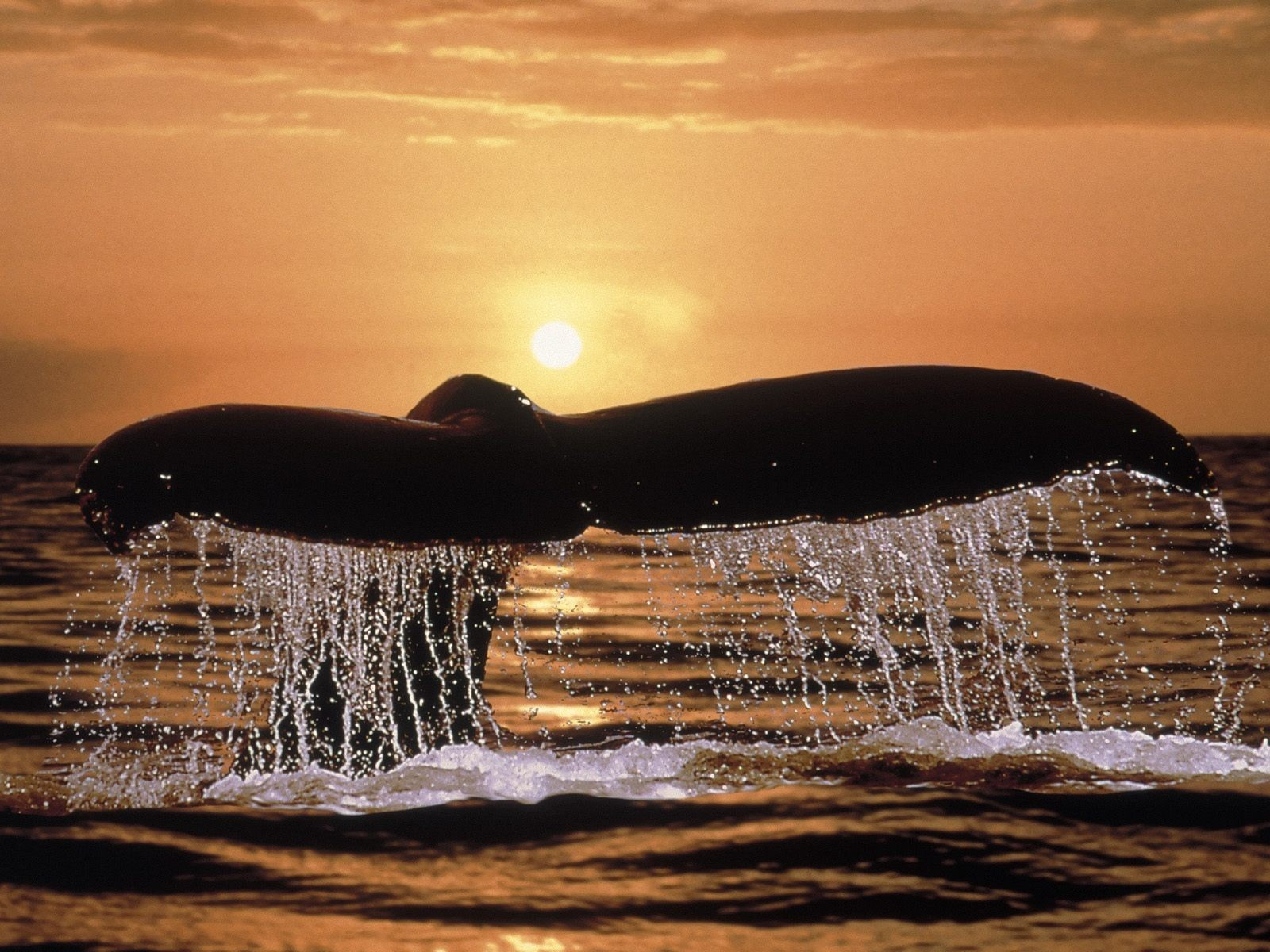 Animals Whales HD Wallpaper