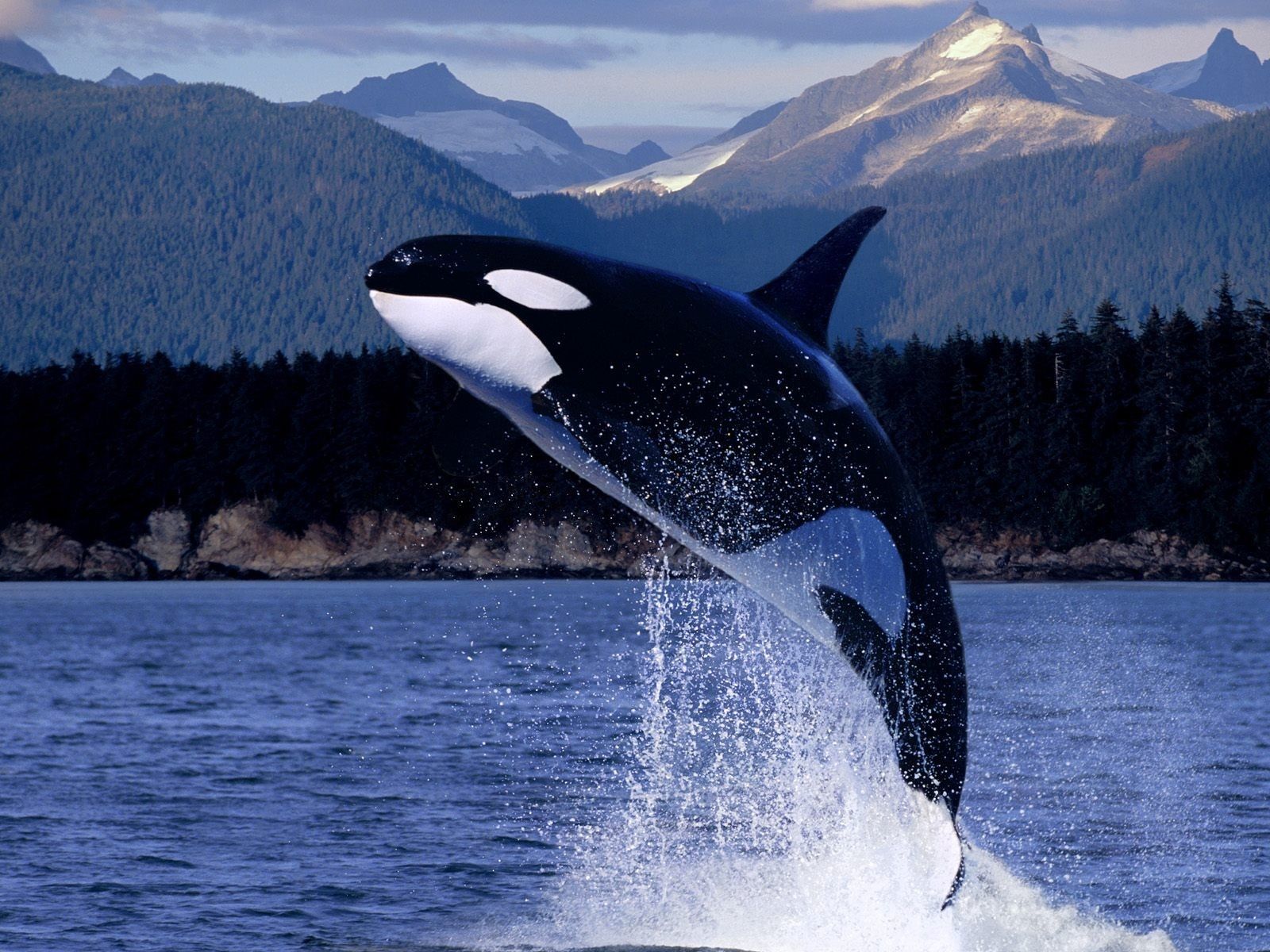 Animals Whales killer whales HD Wallpaper