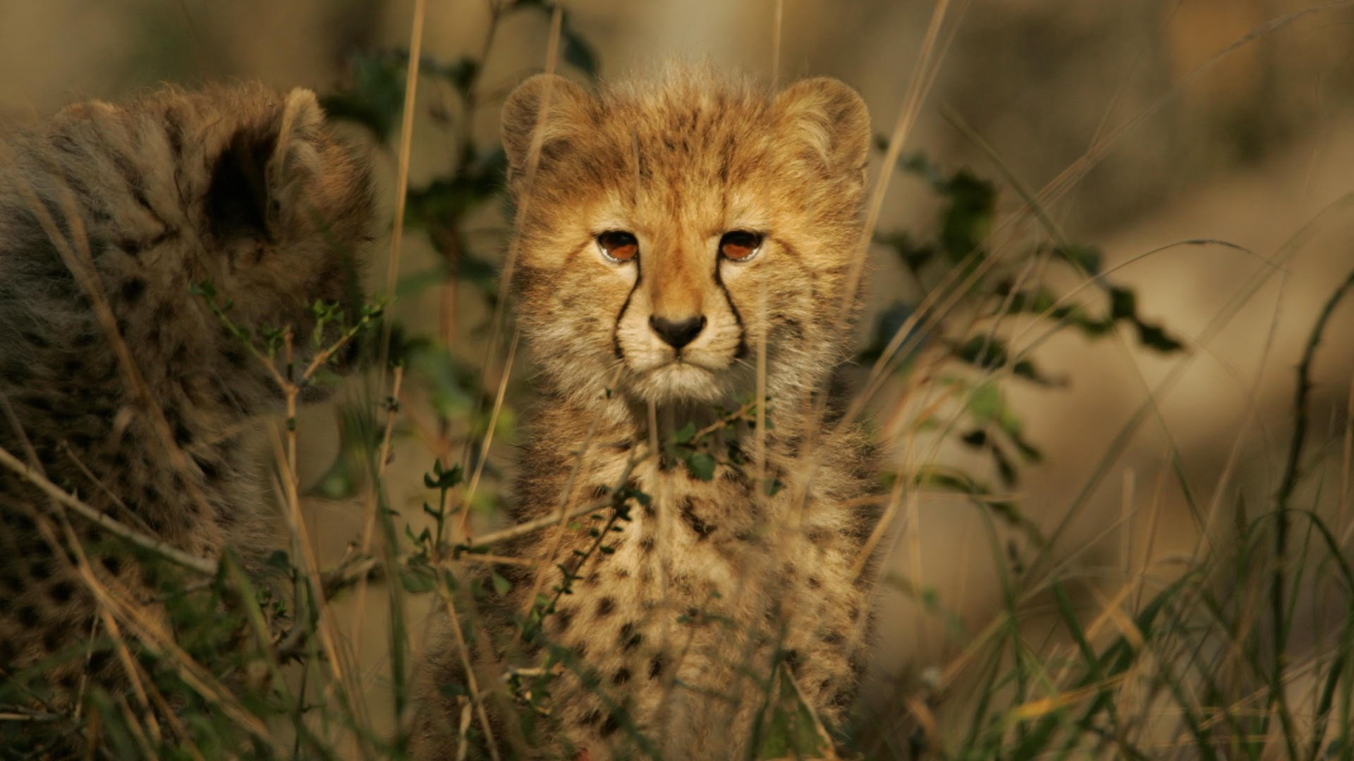 Animals wildlife cheetahs cubs HD Wallpaper